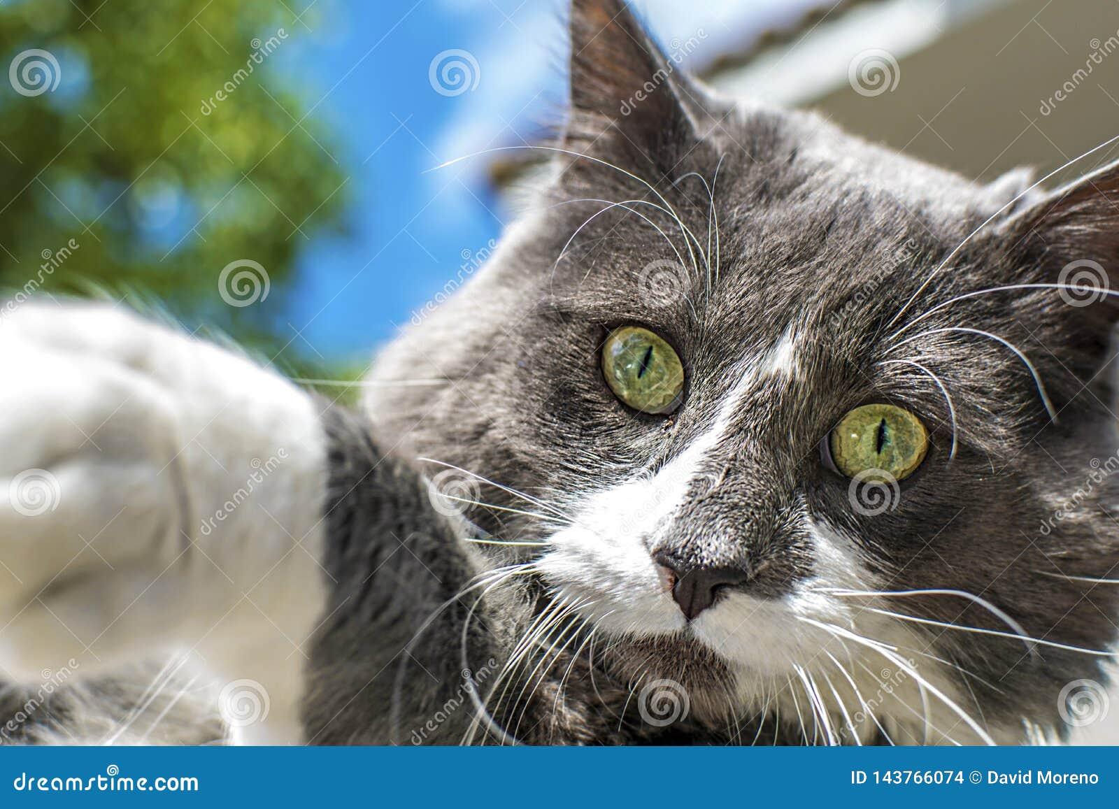 Vista alta vicina di bello cat& verde x27; occhio di s Gioco grigio e bianco del gatto all aperto Bella pelliccia strutturata