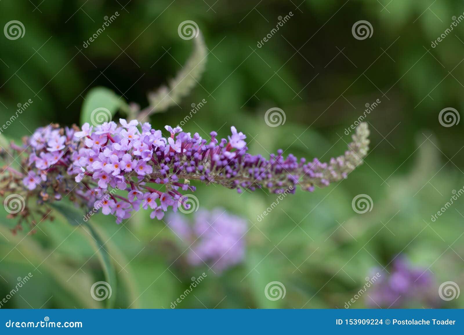 Vista ascendente cercana de la floración del davidii del Buddleia o del Buddleia de Buddleja La planta se conoce comúnmente como