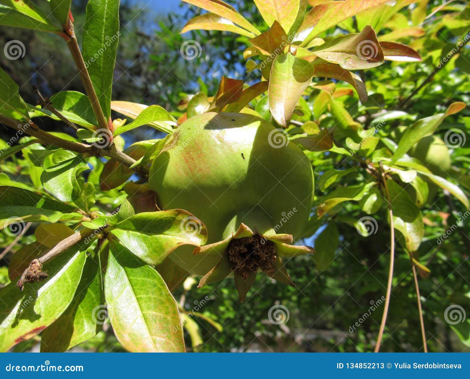 Vista ascendente próxima de frutos saudáveis bonitos da romã em um ramo de árvore no pomar da romã