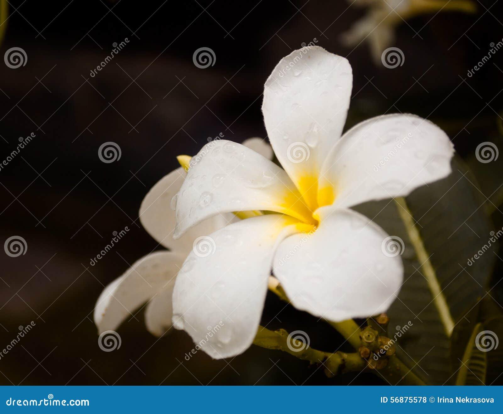 Vista bianca del primo piano del fiore di plumeria
