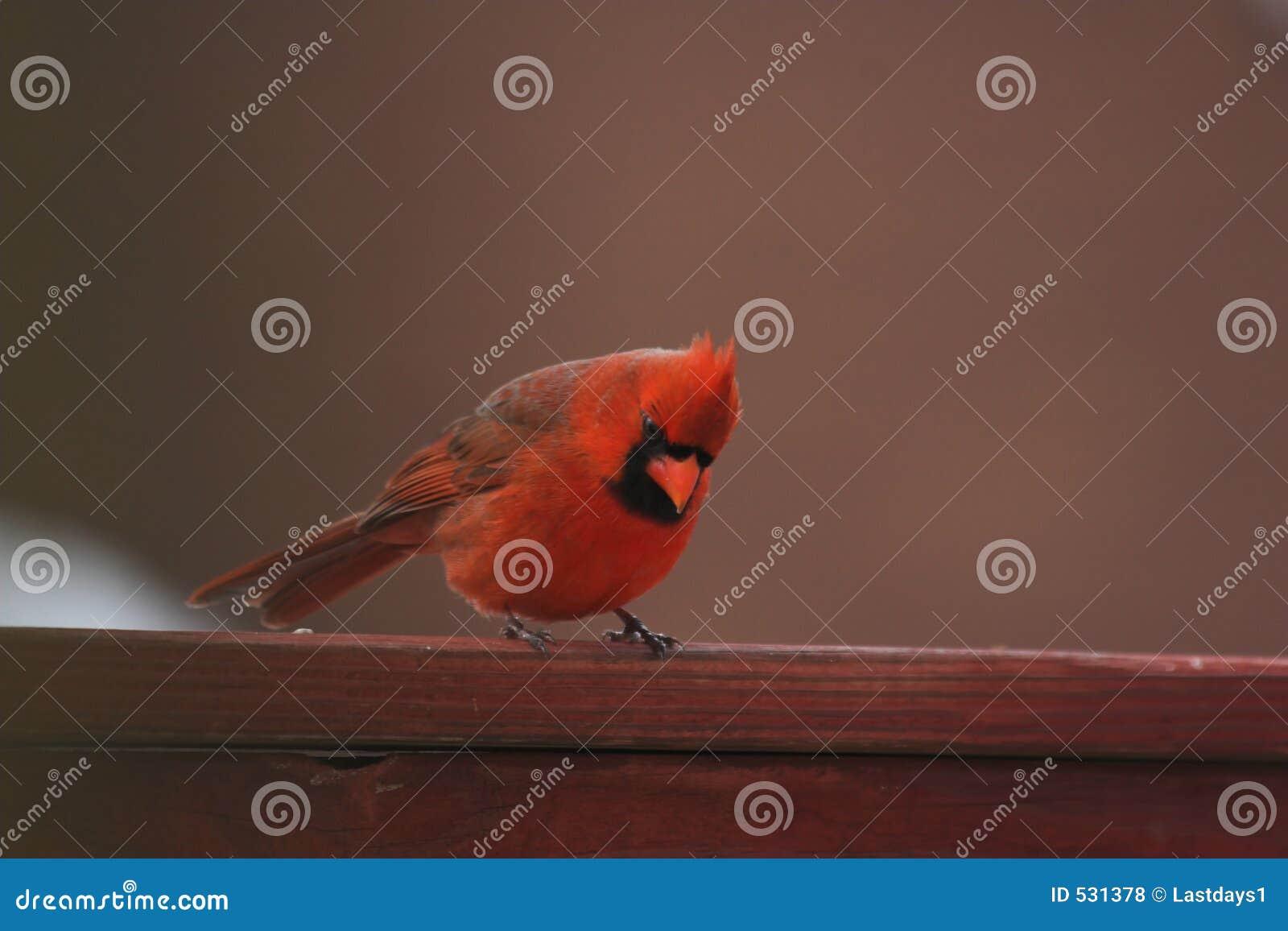 Vista cardinal