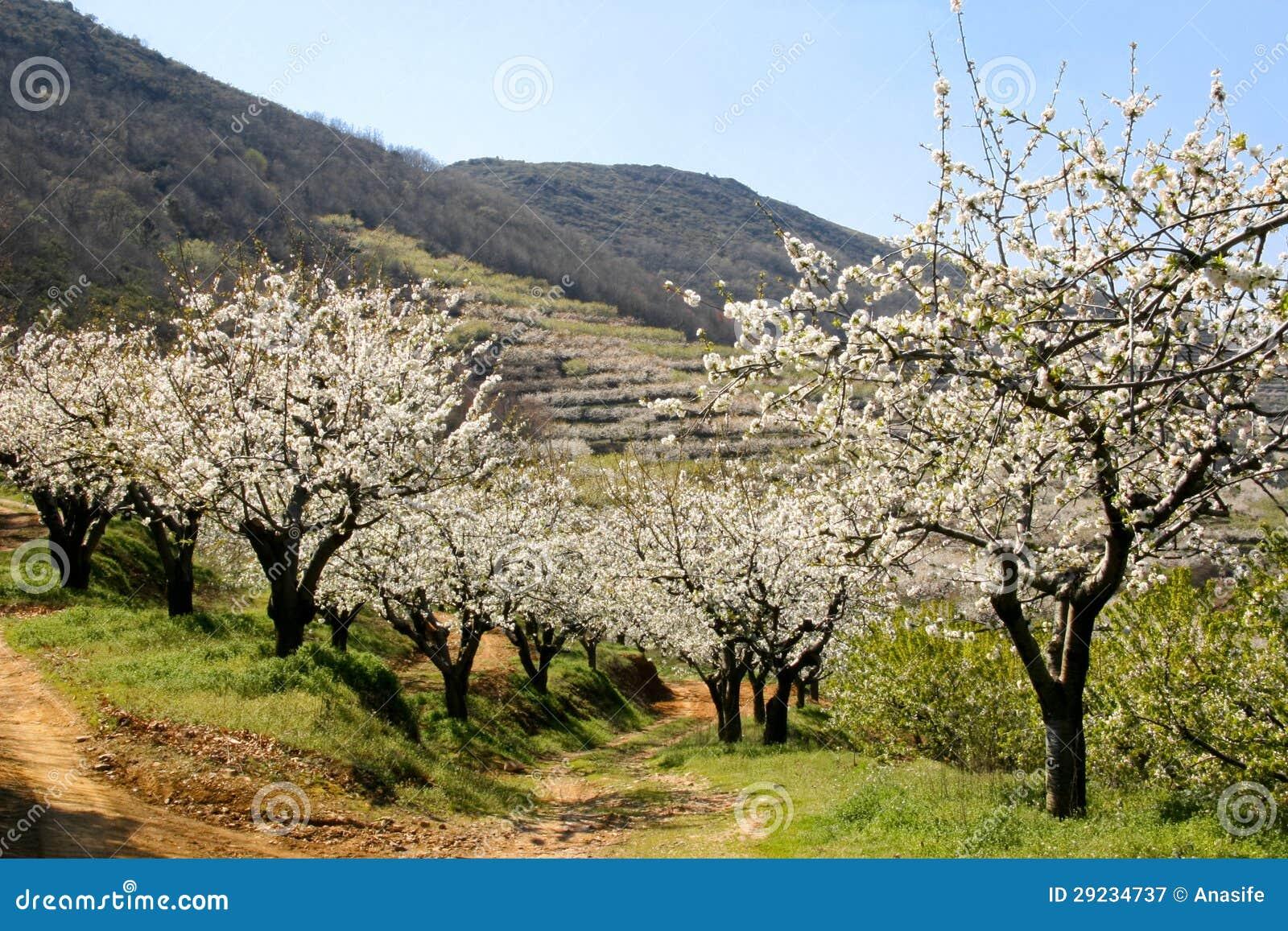 Download Vista da flor de cerejeira imagem de stock. Imagem de escuro - 29234737