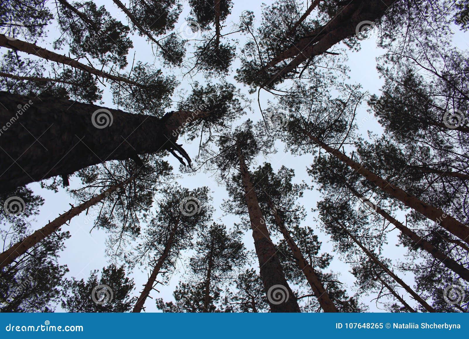 Vista dal basso dei tronchi del pino Vista dal basso delle siluette dei pini Paesaggio della foresta di inverno