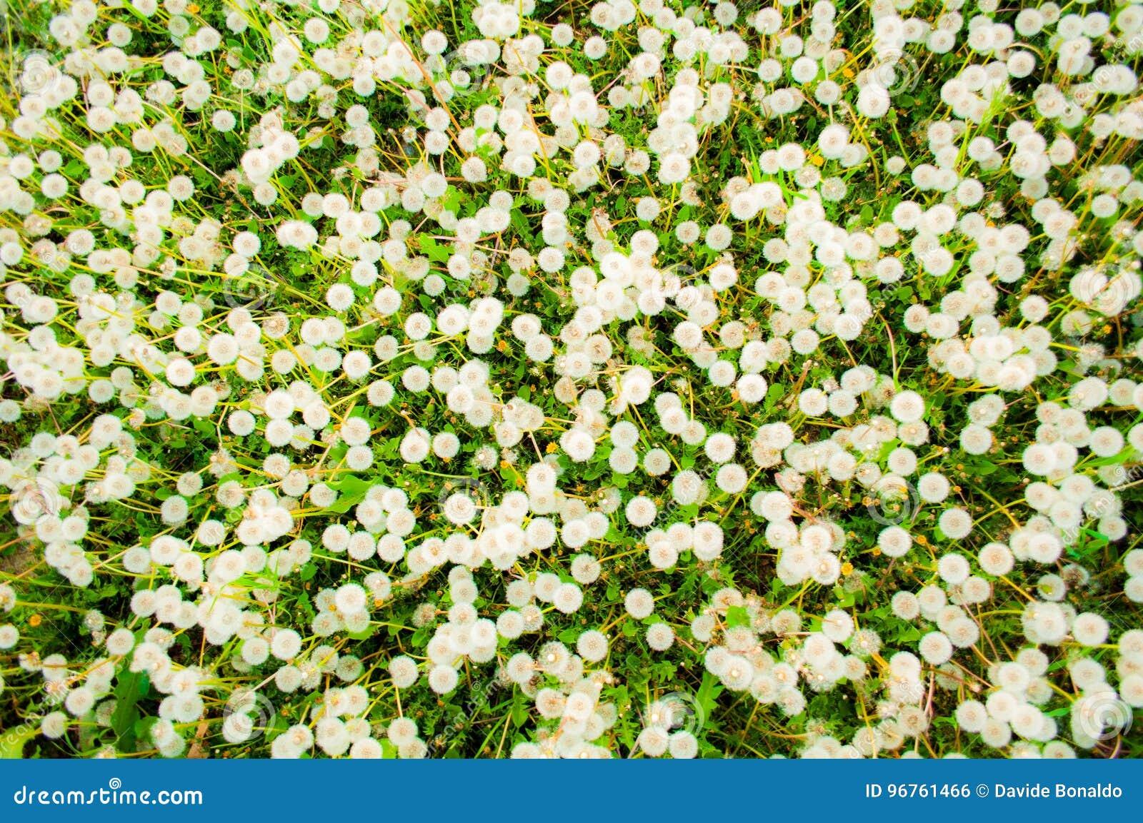 Vista de cima dos dentes-de-leão de florescência do branco no campo no dia de verão
