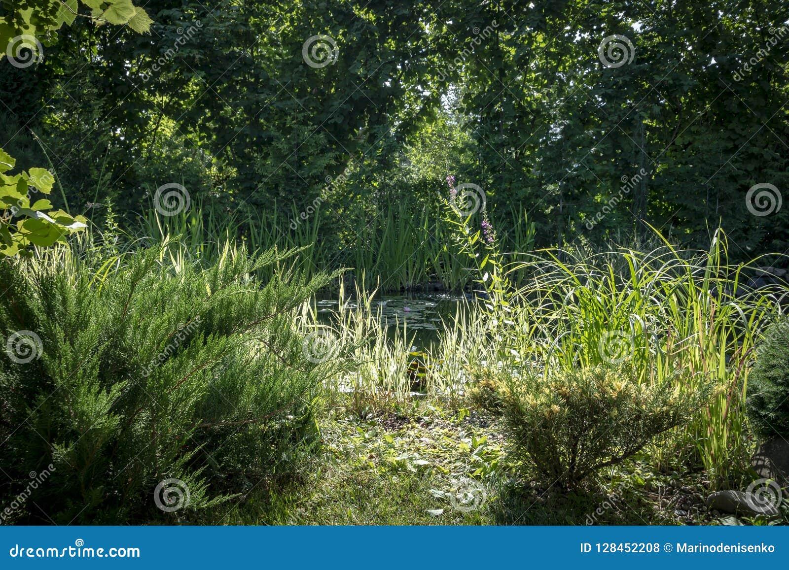 Vista de la charca vieja con los lirios de agua florecientes a través de las ramas de árboles de hoja perenne Día asoleado del ve