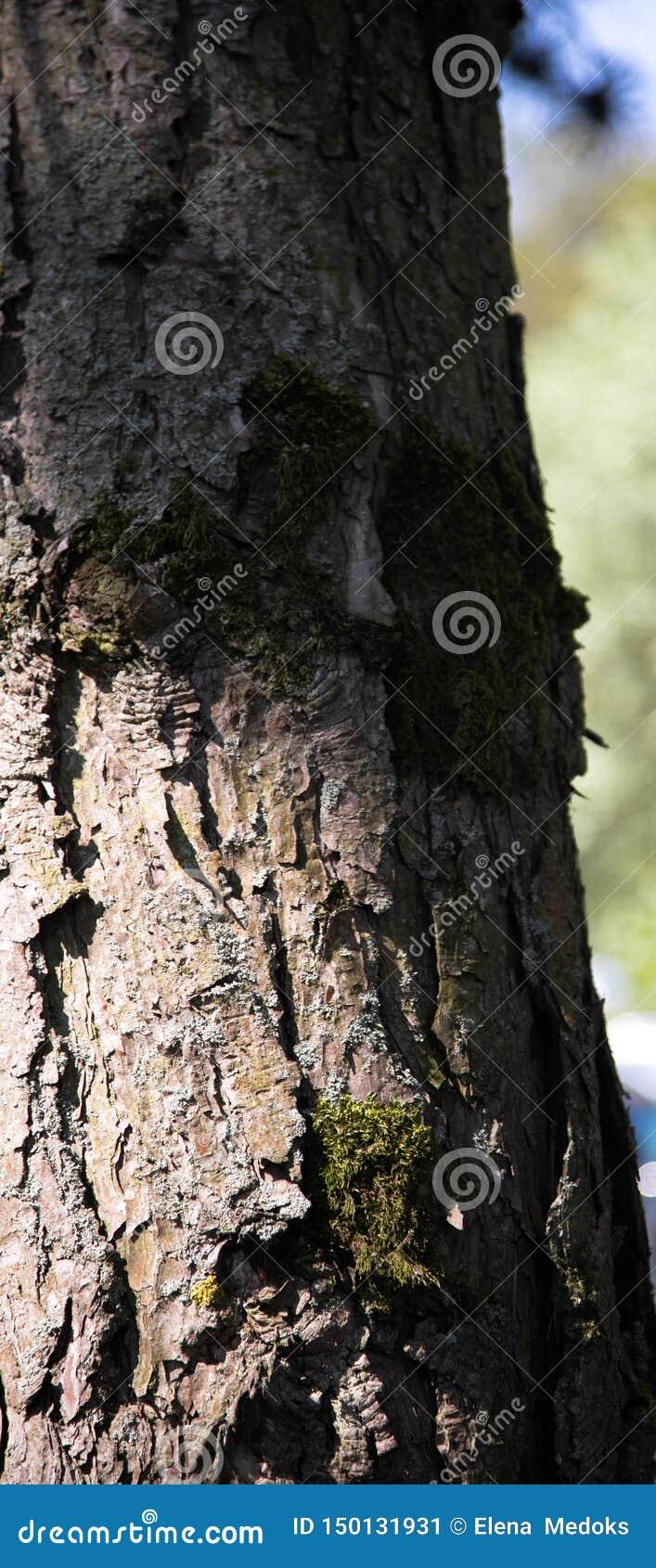 Vista de um tronco de árvore velho na mola no parque A foto de madeira da textura e do fundo