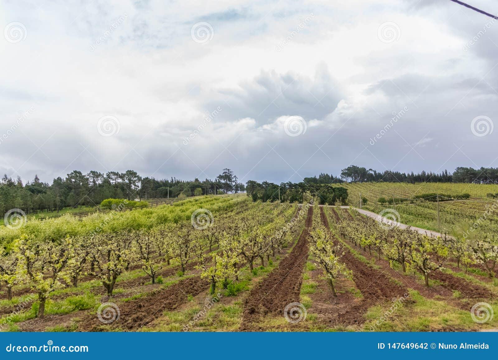 Vista del frutteto con di melo di fioritura, agricoltura biologica