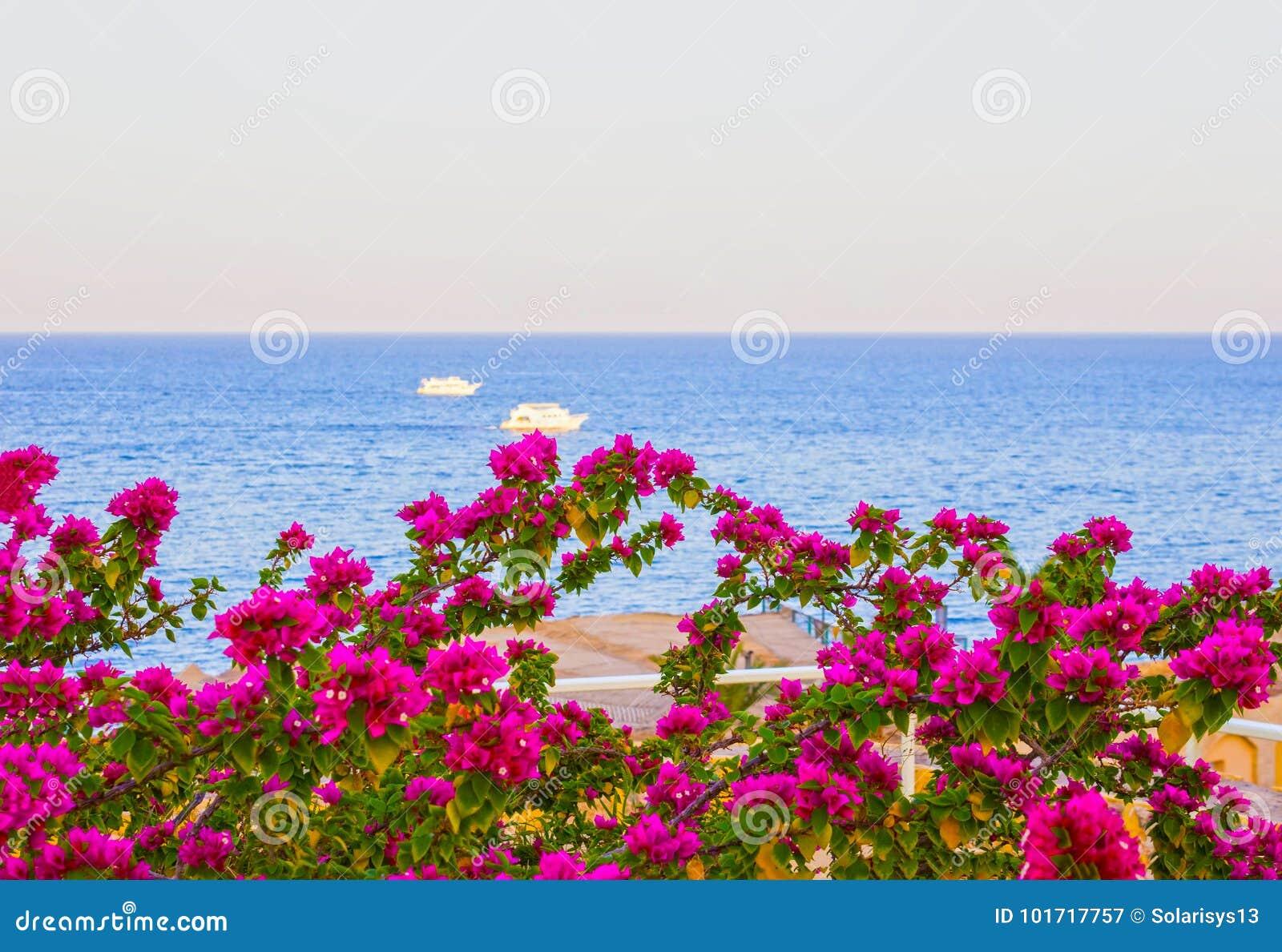 Vista Del Mar Rosso E Dei Fiori Rosa Del Sud Alla Località Di ...