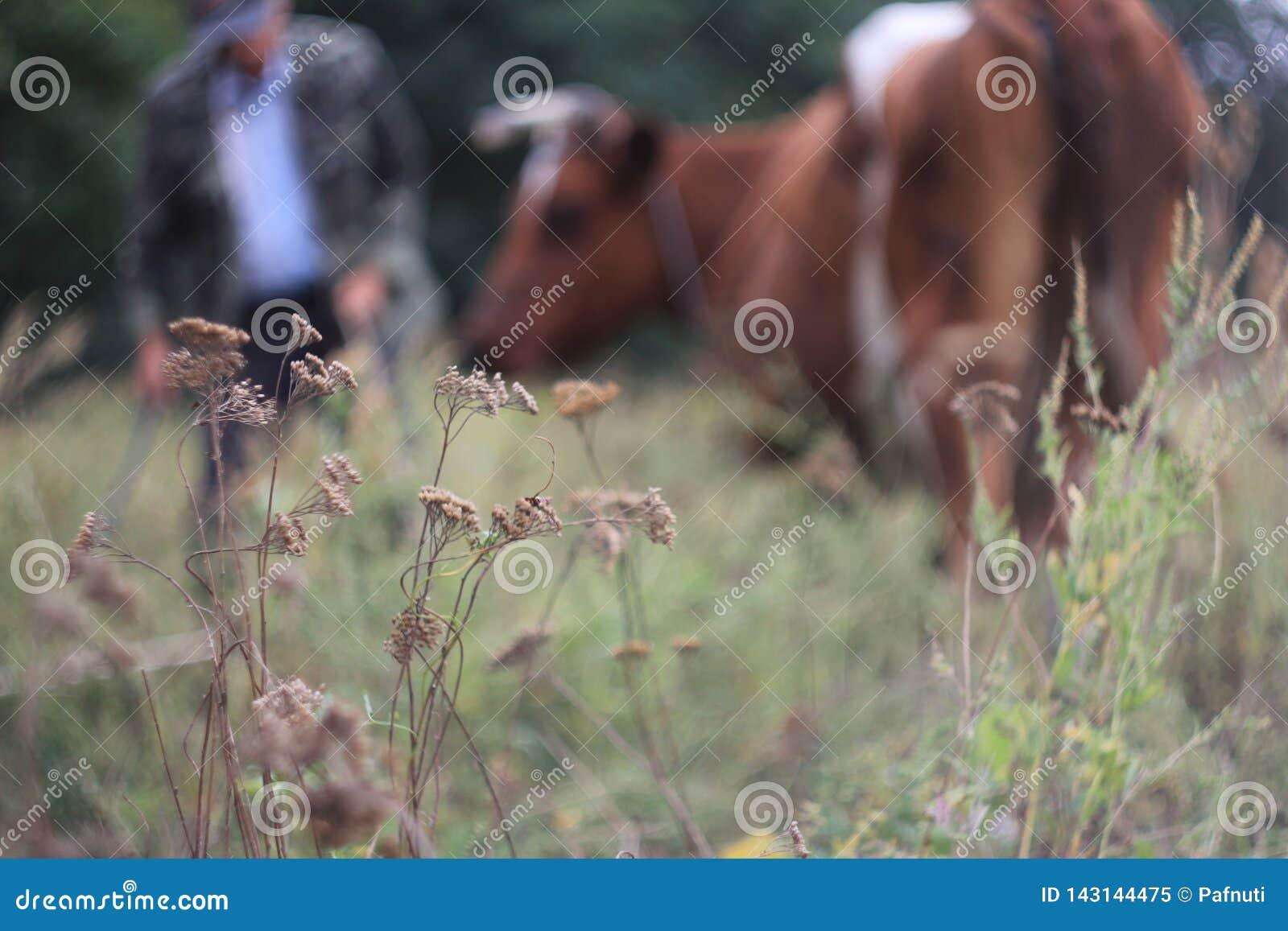 Vista del pascolo con un agricoltore e una mucca nei precedenti sfuocato
