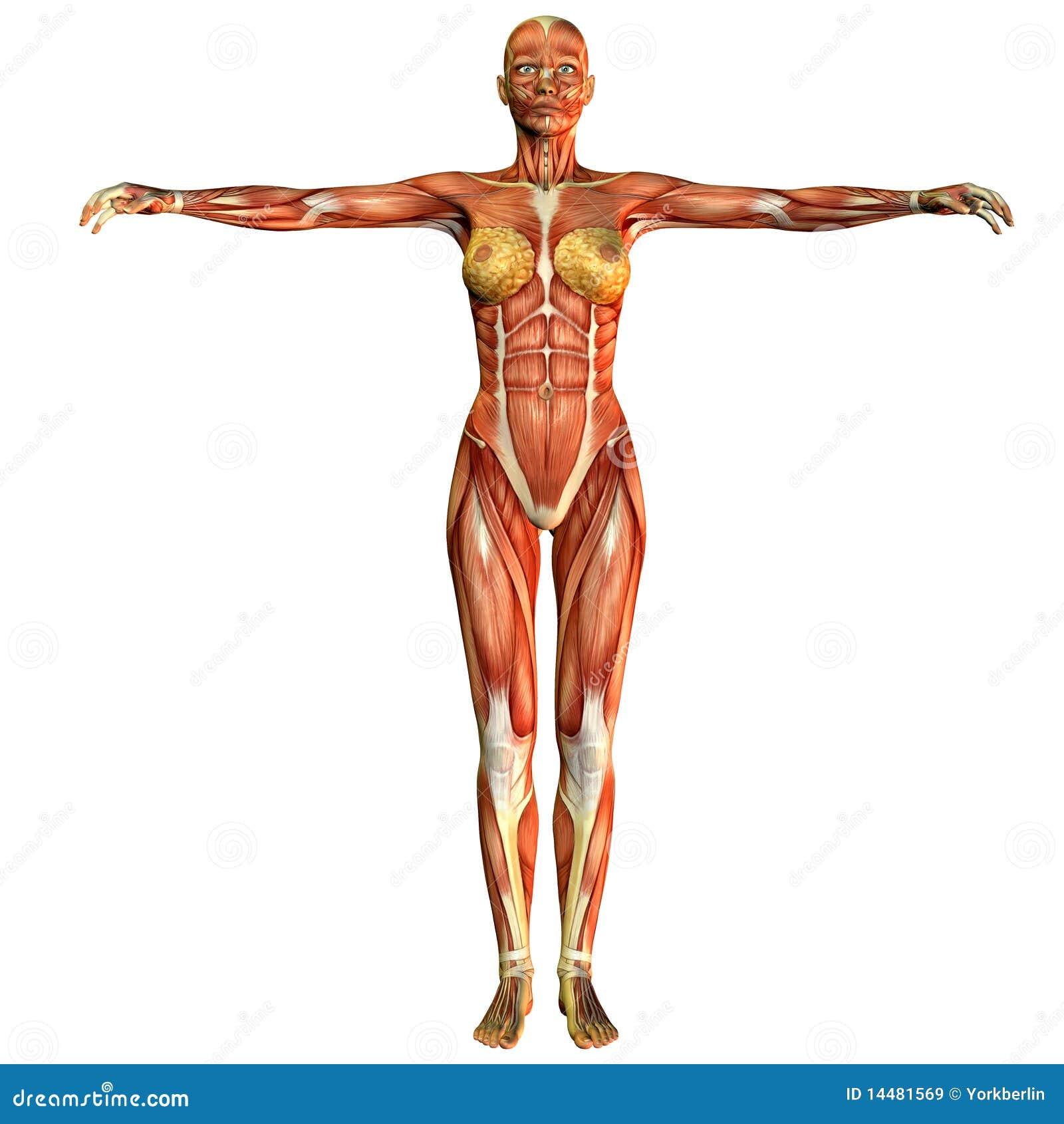 Vista Delantera De La Mujer Del Músculo Del Estudio Stock de ...