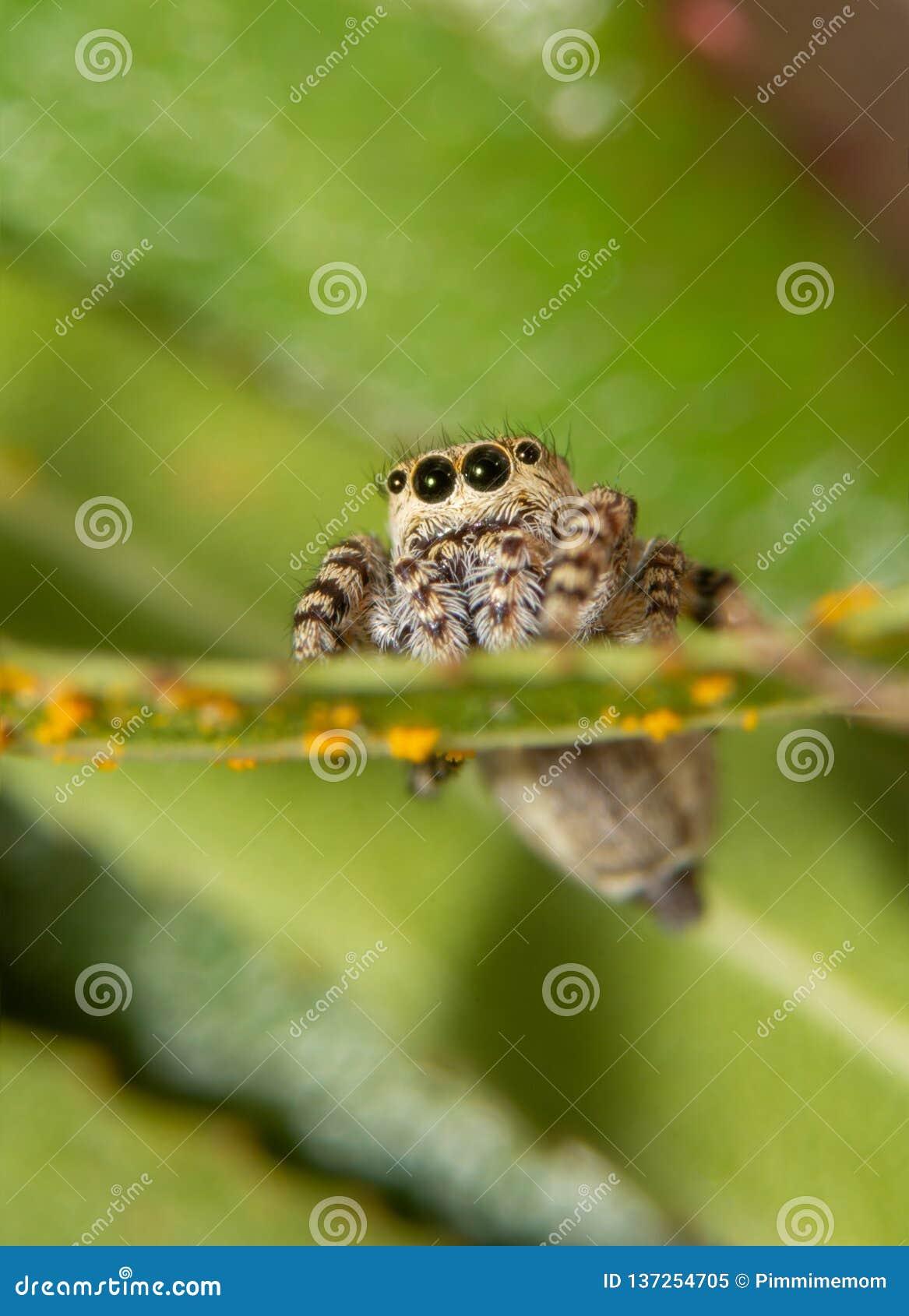 Vista delantera de un puente sazonado con pimienta minúsculo, araña del galathea de Pelegrina