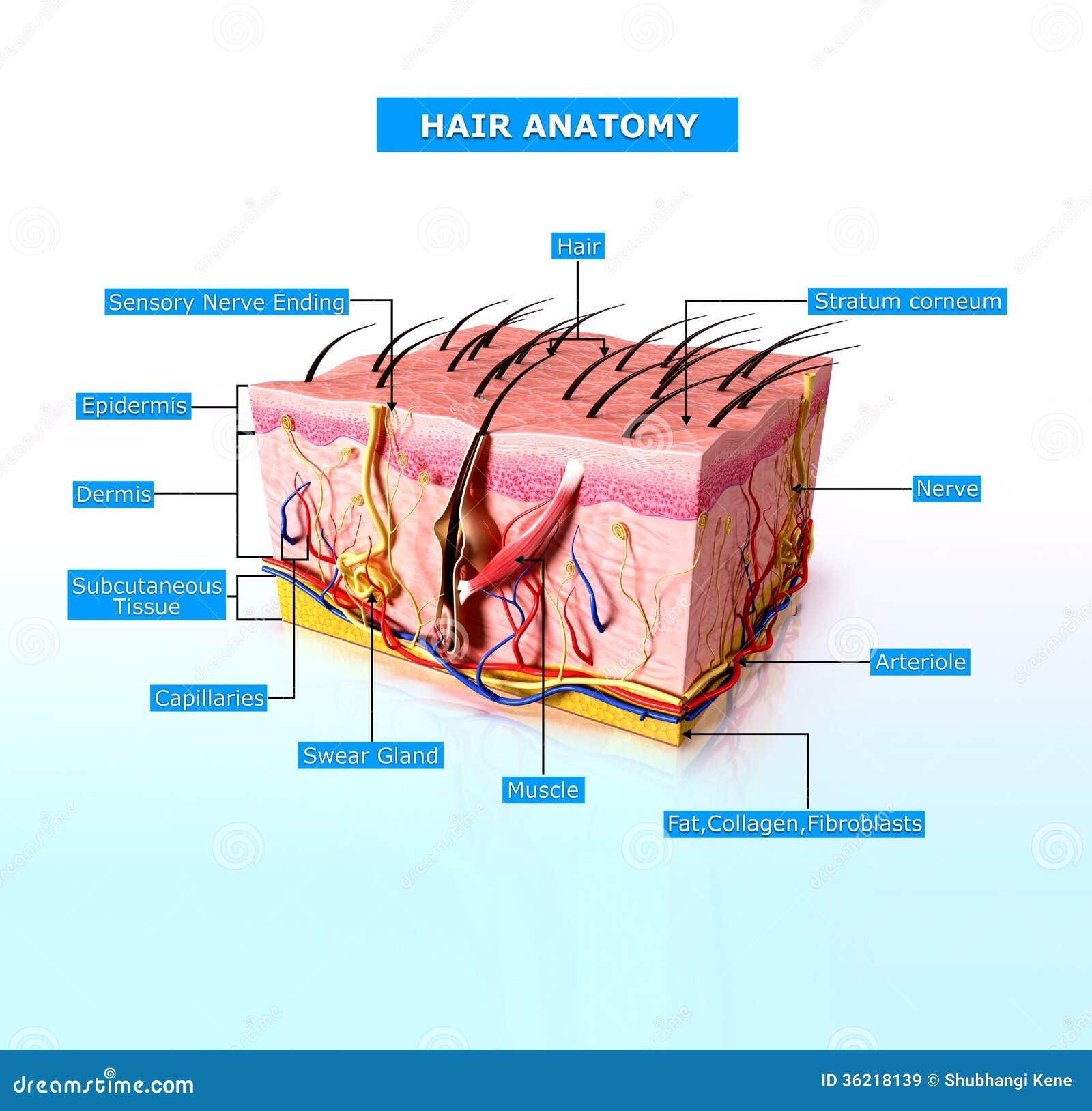 Vista Delantera Del Diagrama Cutway De La Piel Humana Stock de ...