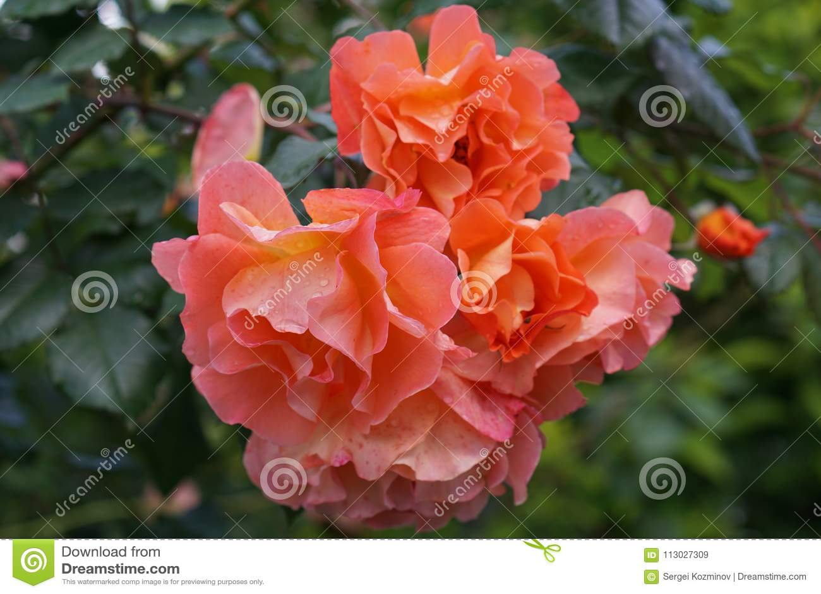 Vista delantera del primer del climbi anaranjado brillante complejo del grado de la flor