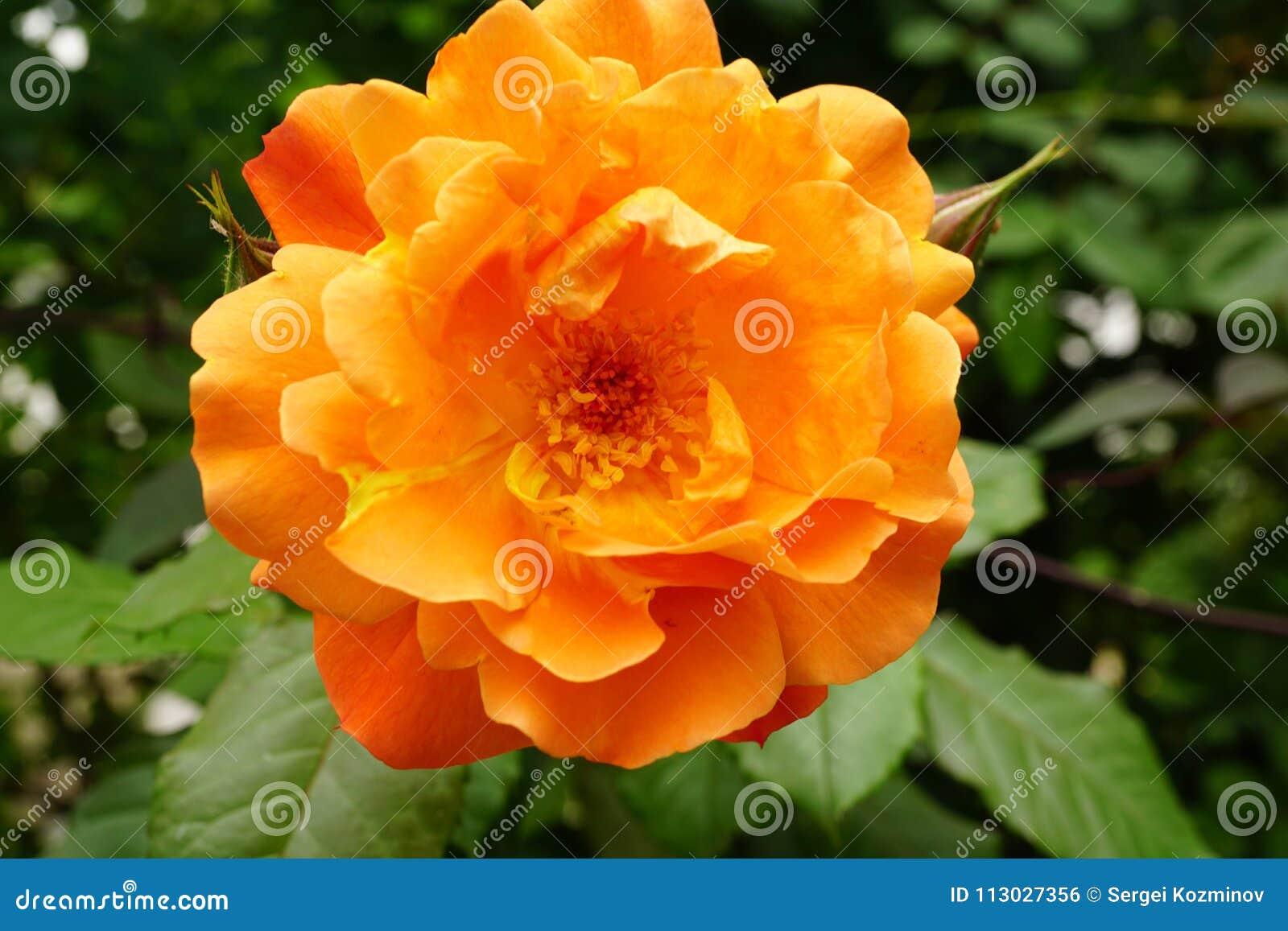 Vista delantera del primer del inflorescencias anaranjadas brillantes caucásicas