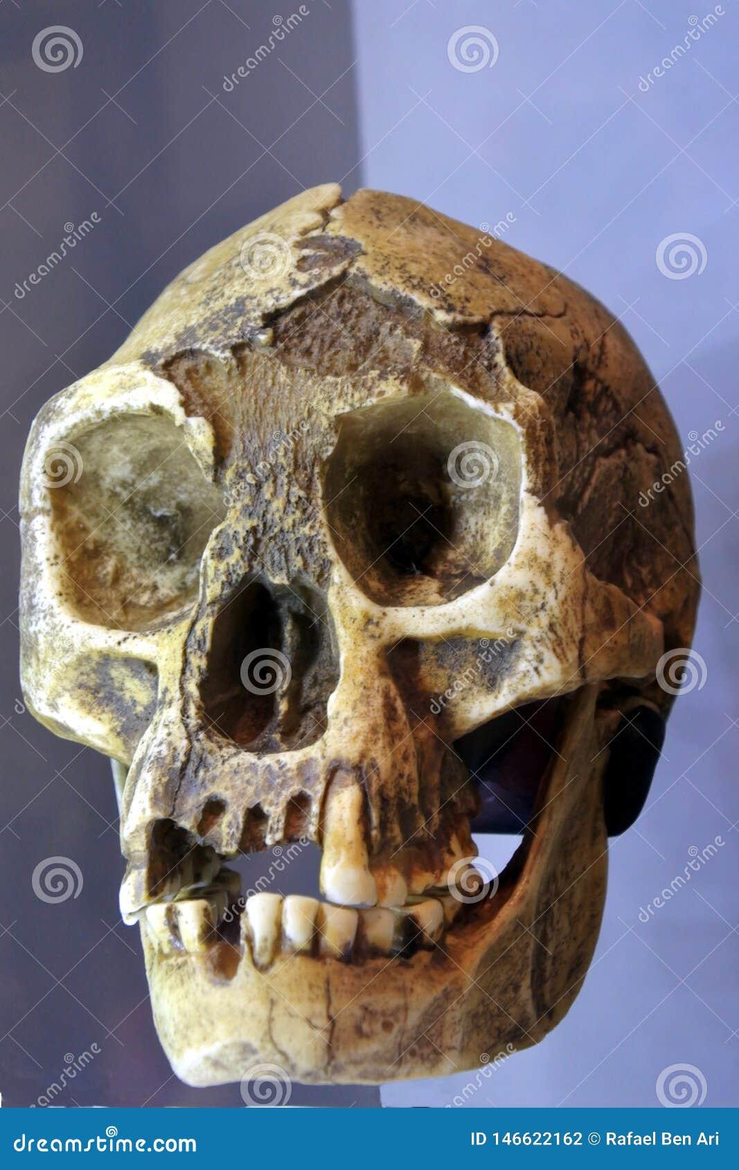 Vista delantera esquelética facial humana