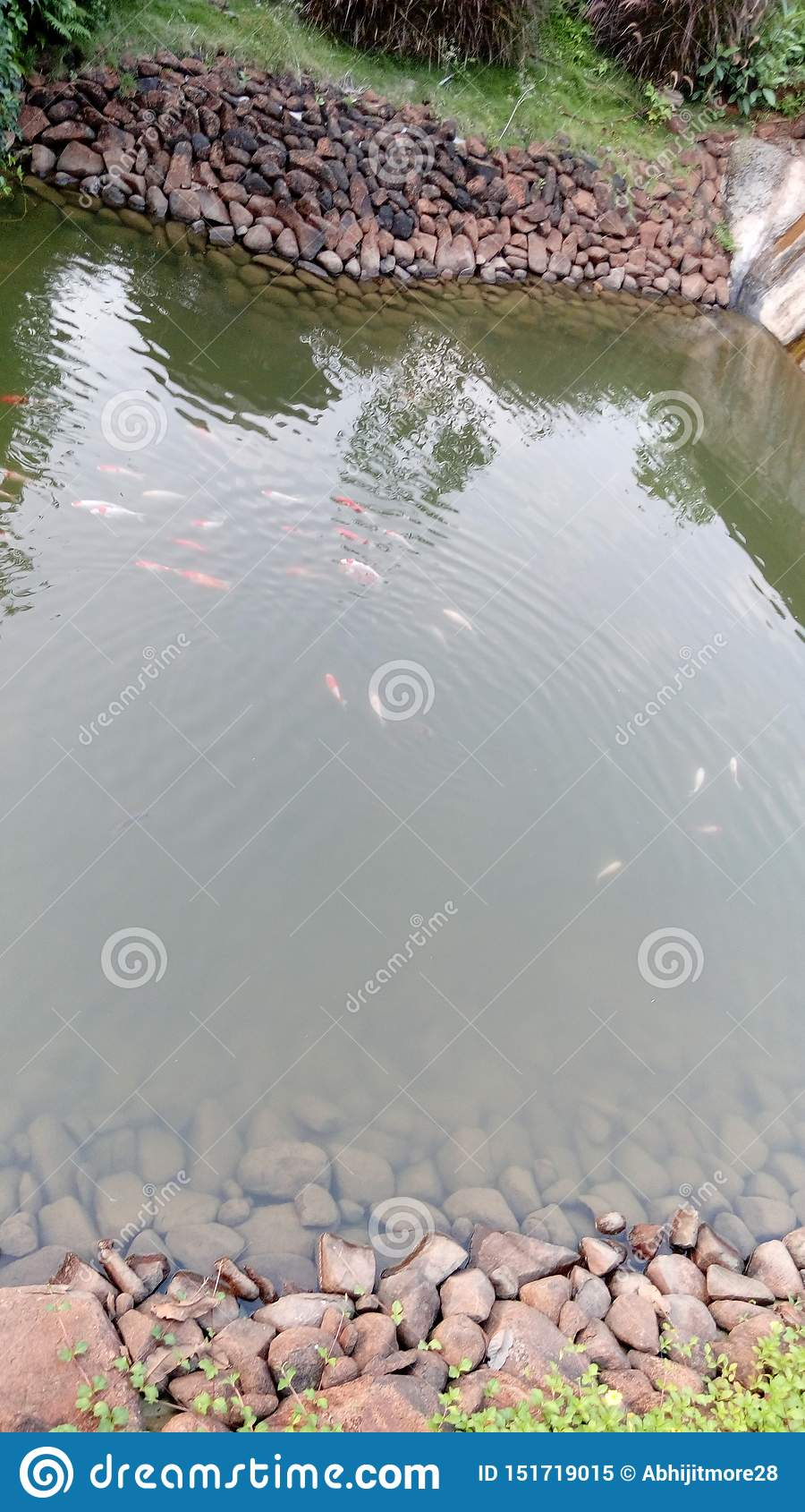 Vista dell angolo alto delle carpe a specchi che nuotano nello stagno