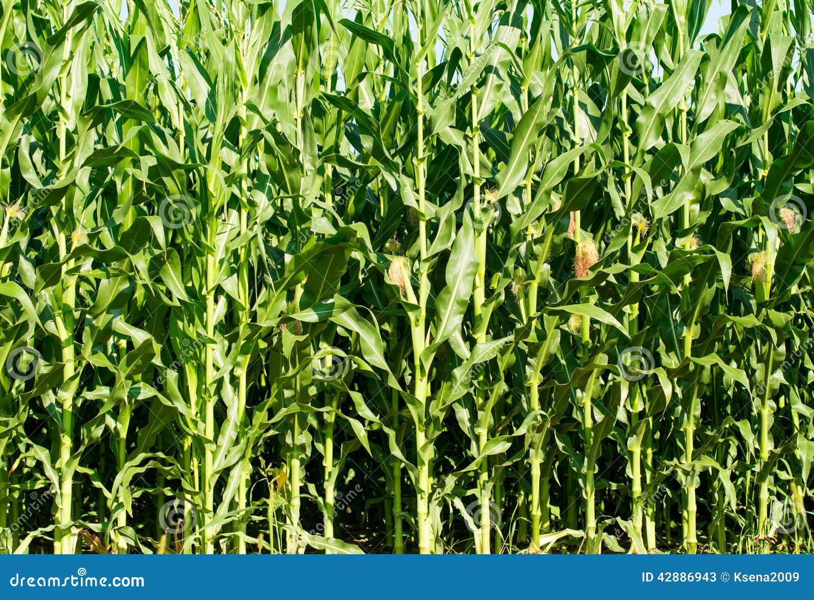 Vista dettagliata delle piante di mais non mature ancora for Piante di lamponi acquisto