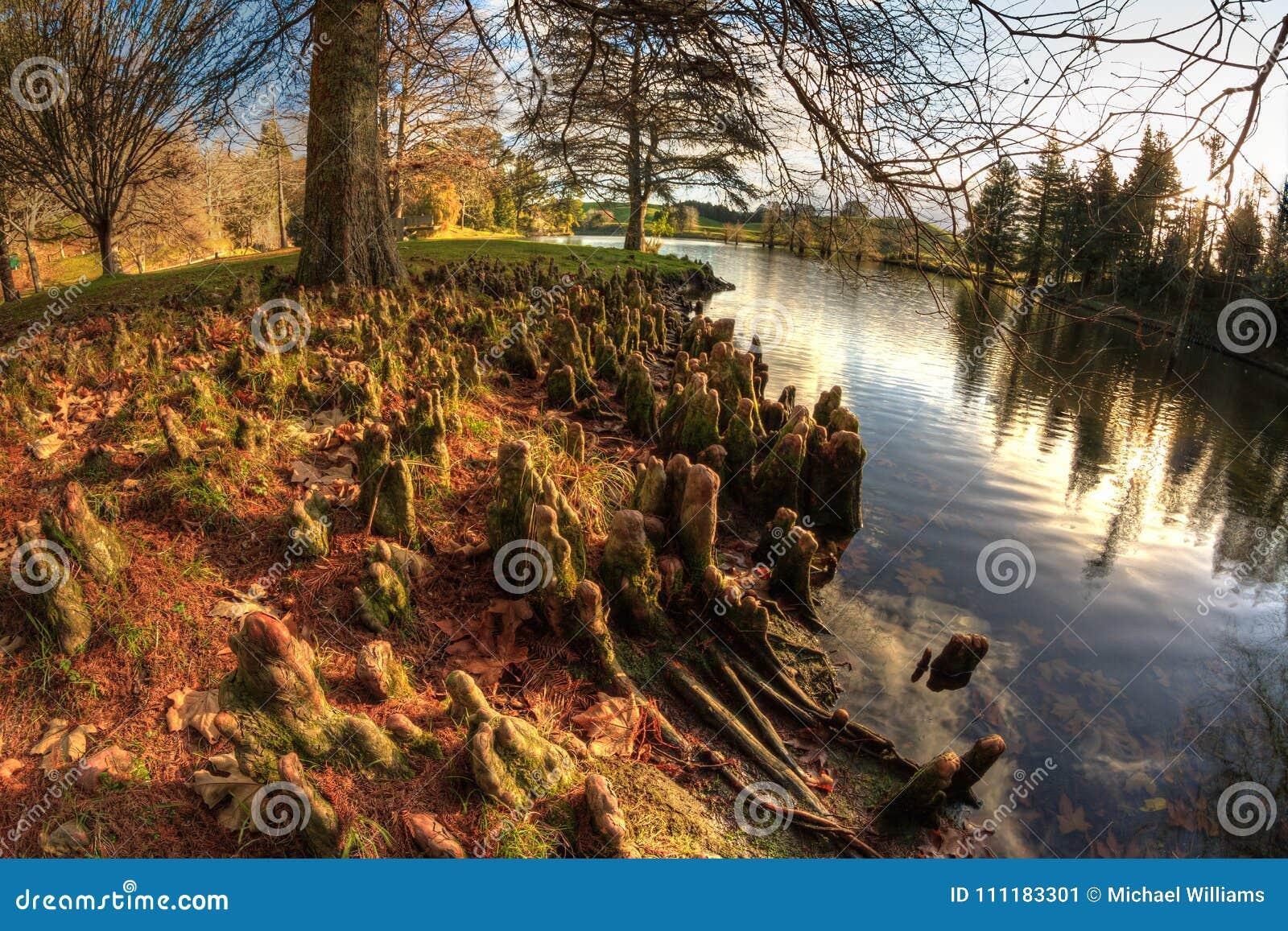 Vista di Fisheye delle radici di Cypress calvo accanto al lago