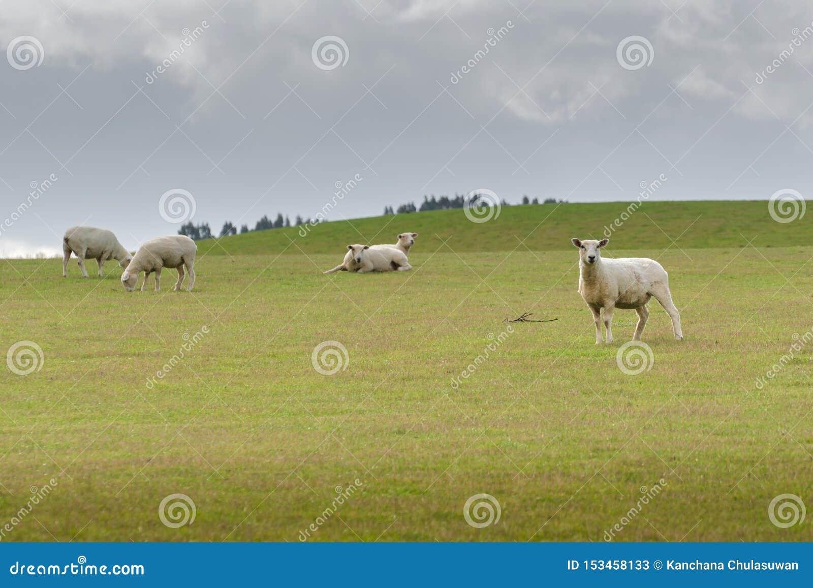 Vista di pascolo delle pecore su un prato, Nuova Zelanda