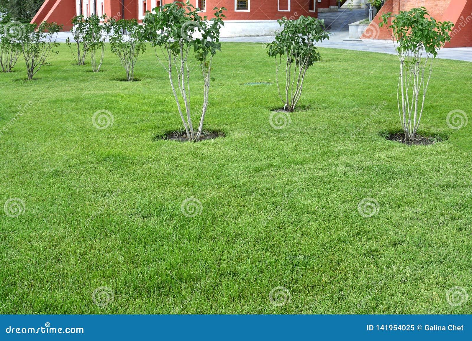 Vista do gramado verde bem arrumado e dos arbustos lilás