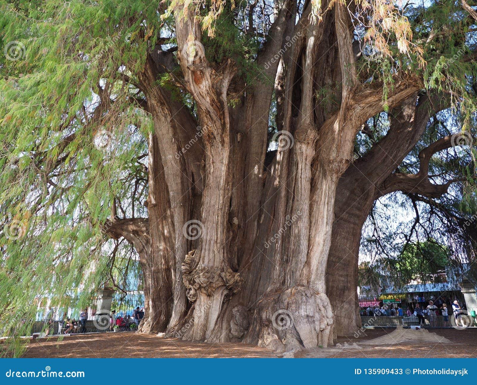 Vista do tronco o mais robusto do mundo da árvore de cipreste monumental de Montezuma na cidade de Santa Maria del Tule em México