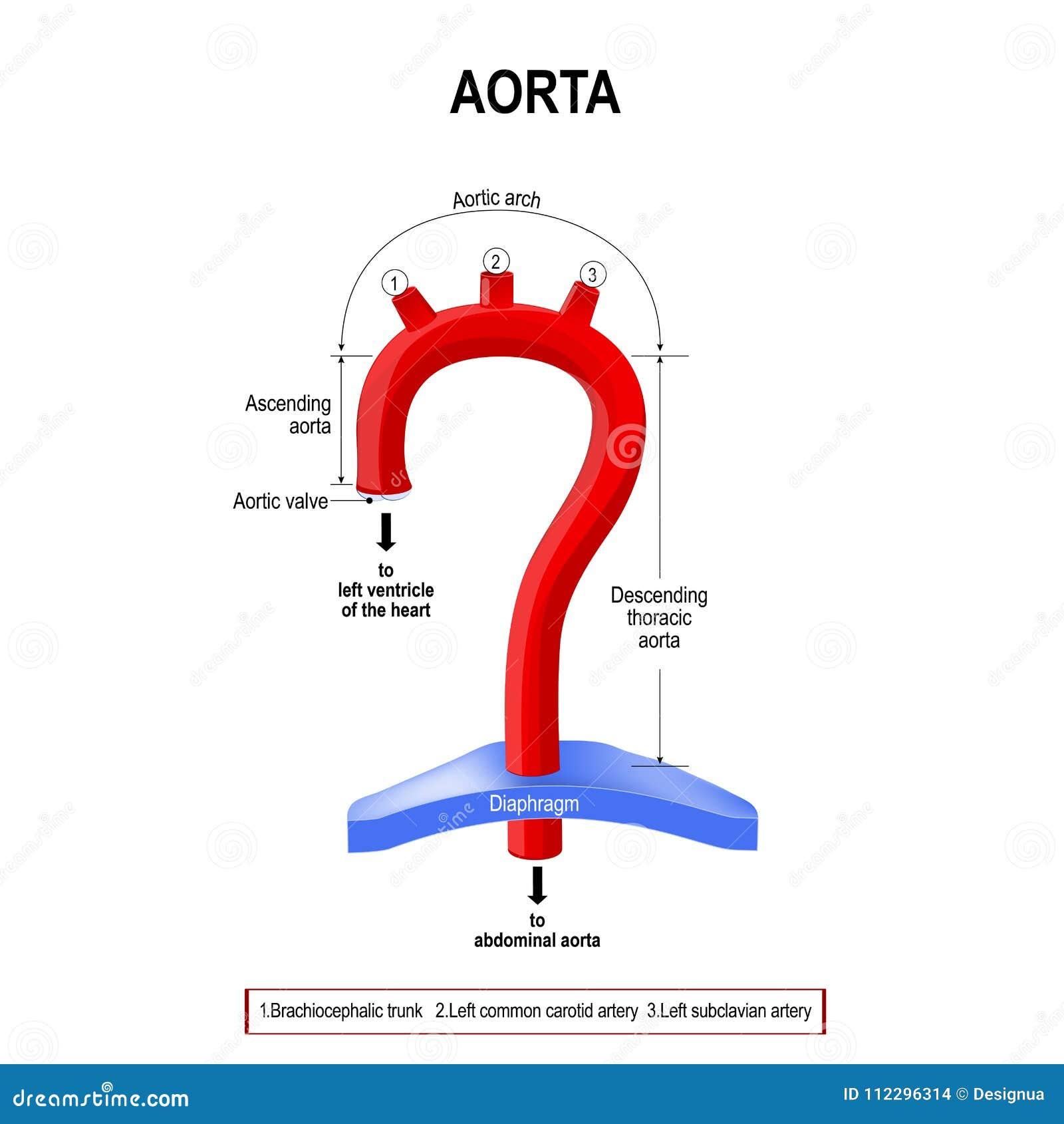 Vista Esquemática De Los Segmentos De La Aorta Ilustración del ...