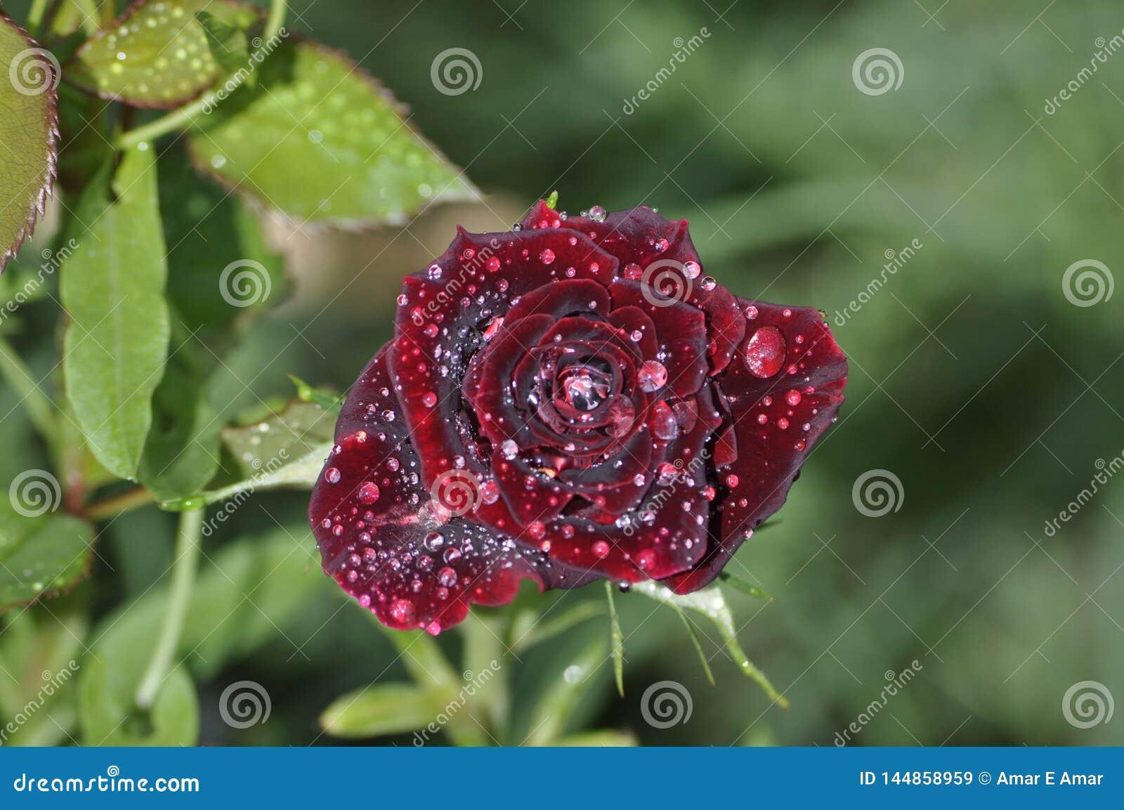 Vista frontale della rosa rosso scuro con le gocce di rugiada