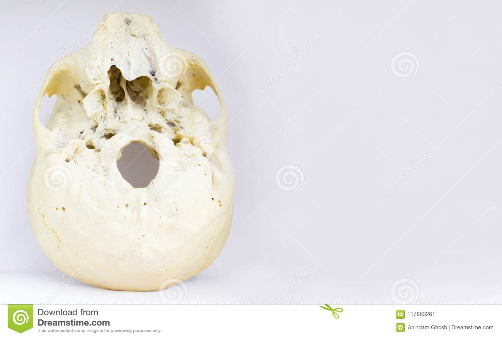 Vista Inferior De La Base Del Cráneo Humano Que Muestra El Maxilar Y ...