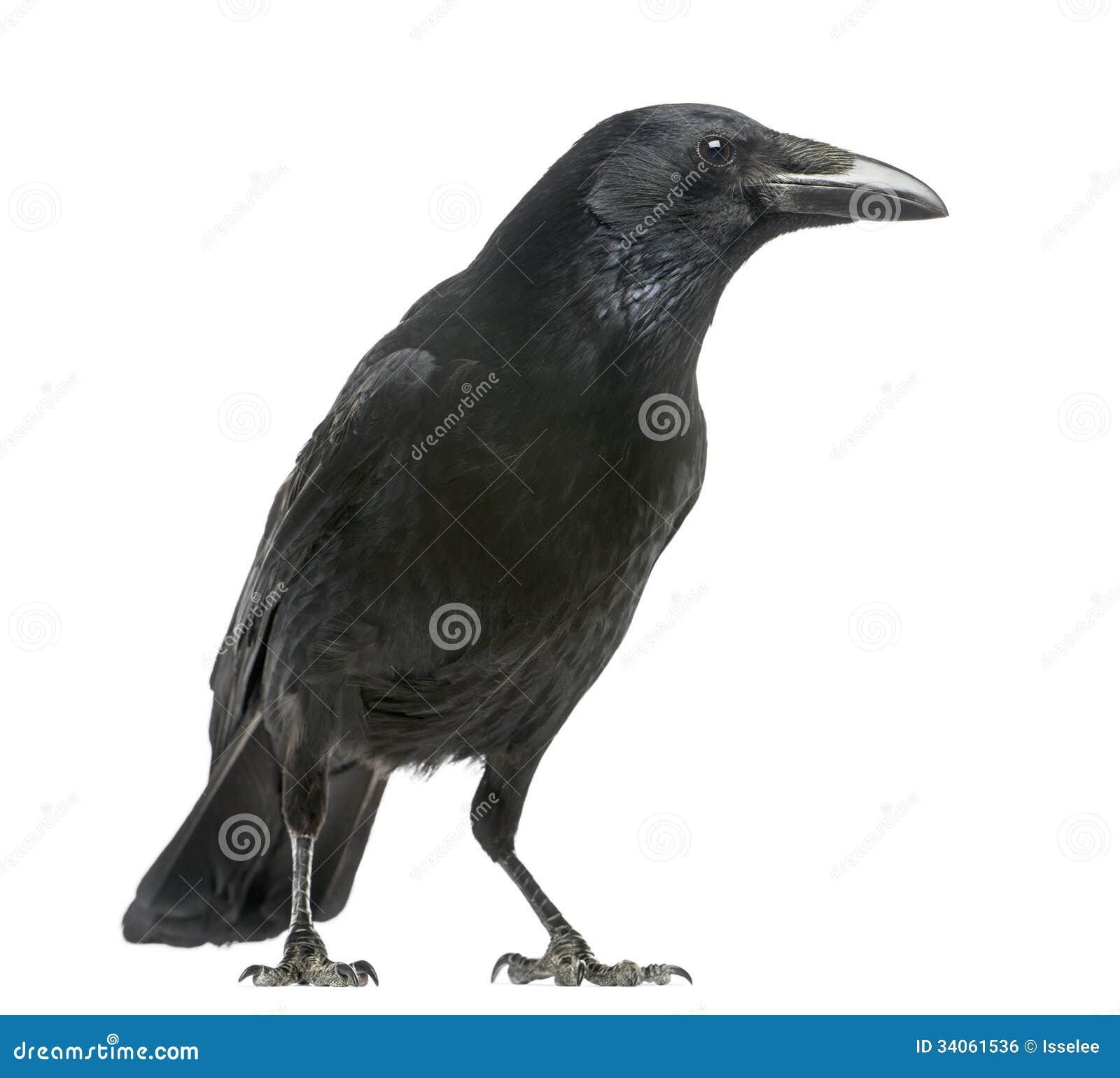 Vista lateral de Carrion Crow, corone del Corvus, aislado