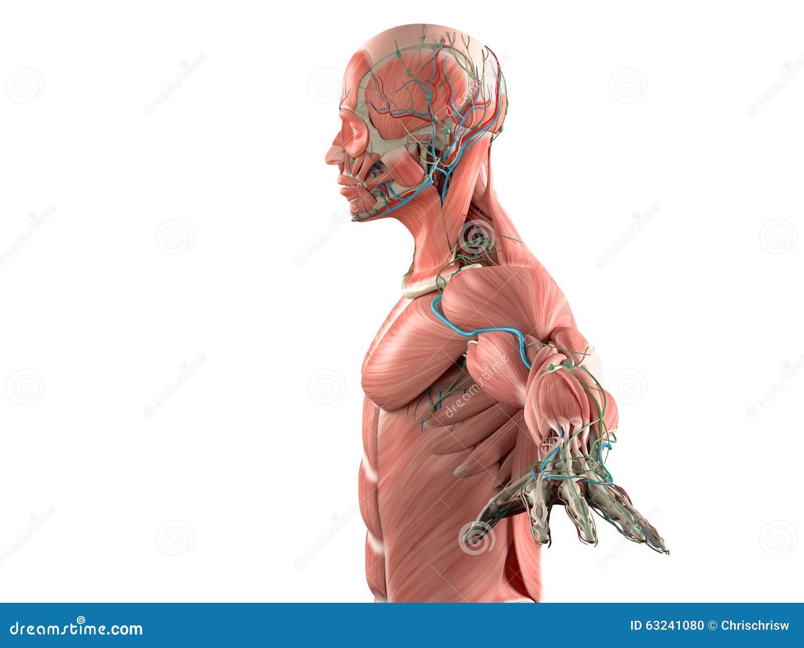 Cabeza Humana - Vista Lateral Foto de archivo - Imagen de anatómico ...
