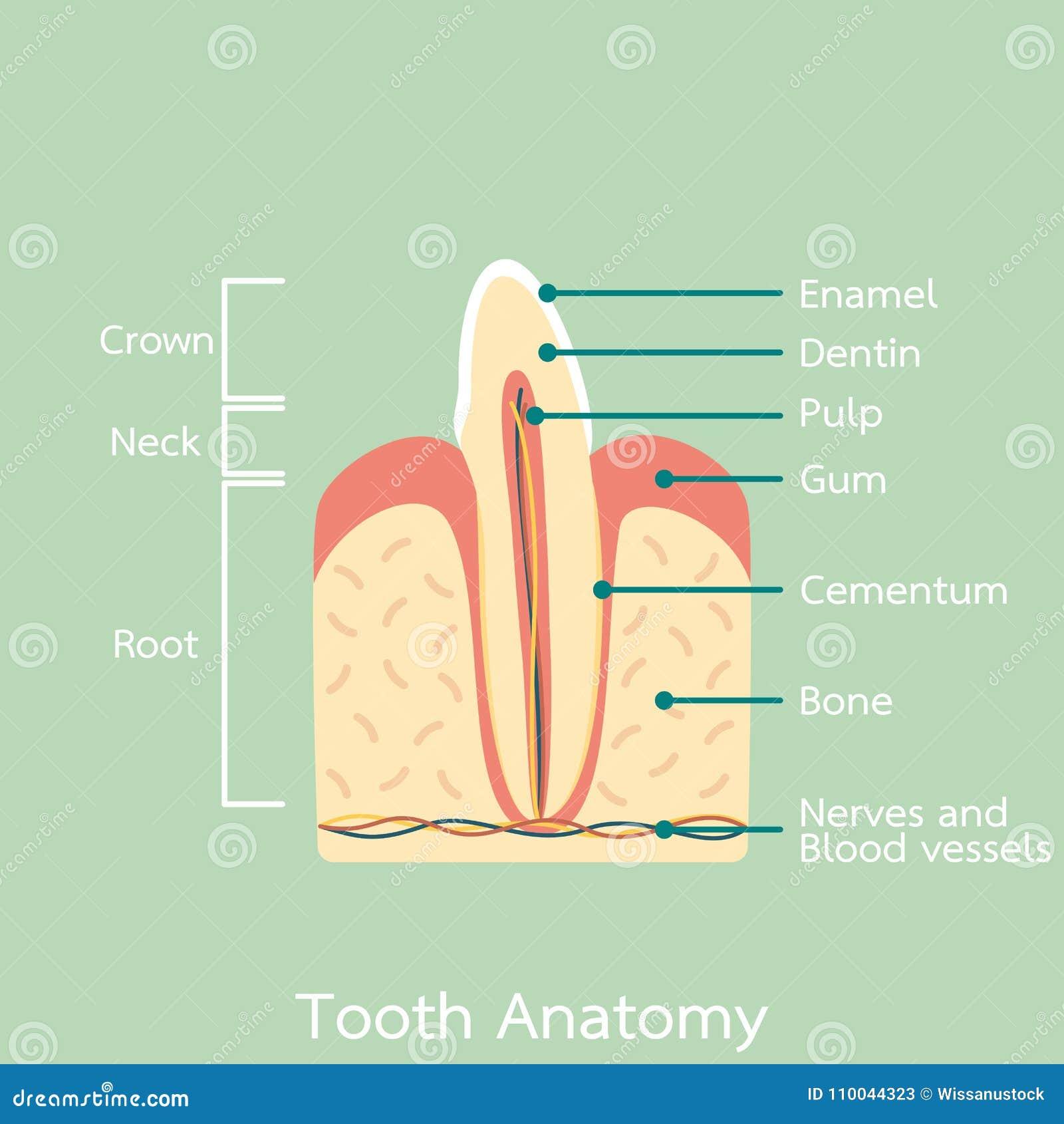 Contemporáneo Diagrama De La Anatomía Hydra Bosquejo - Anatomía de ...