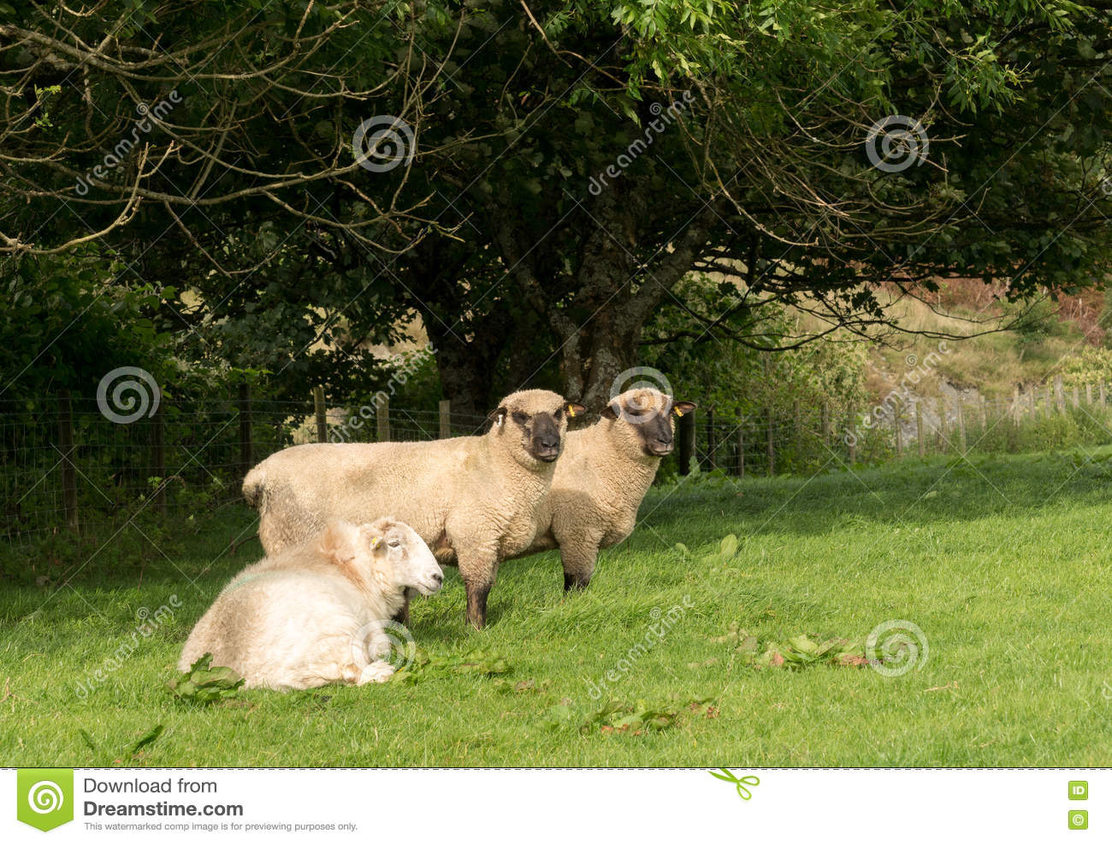 Vista lateral de las ovejas de Shropshire en prado