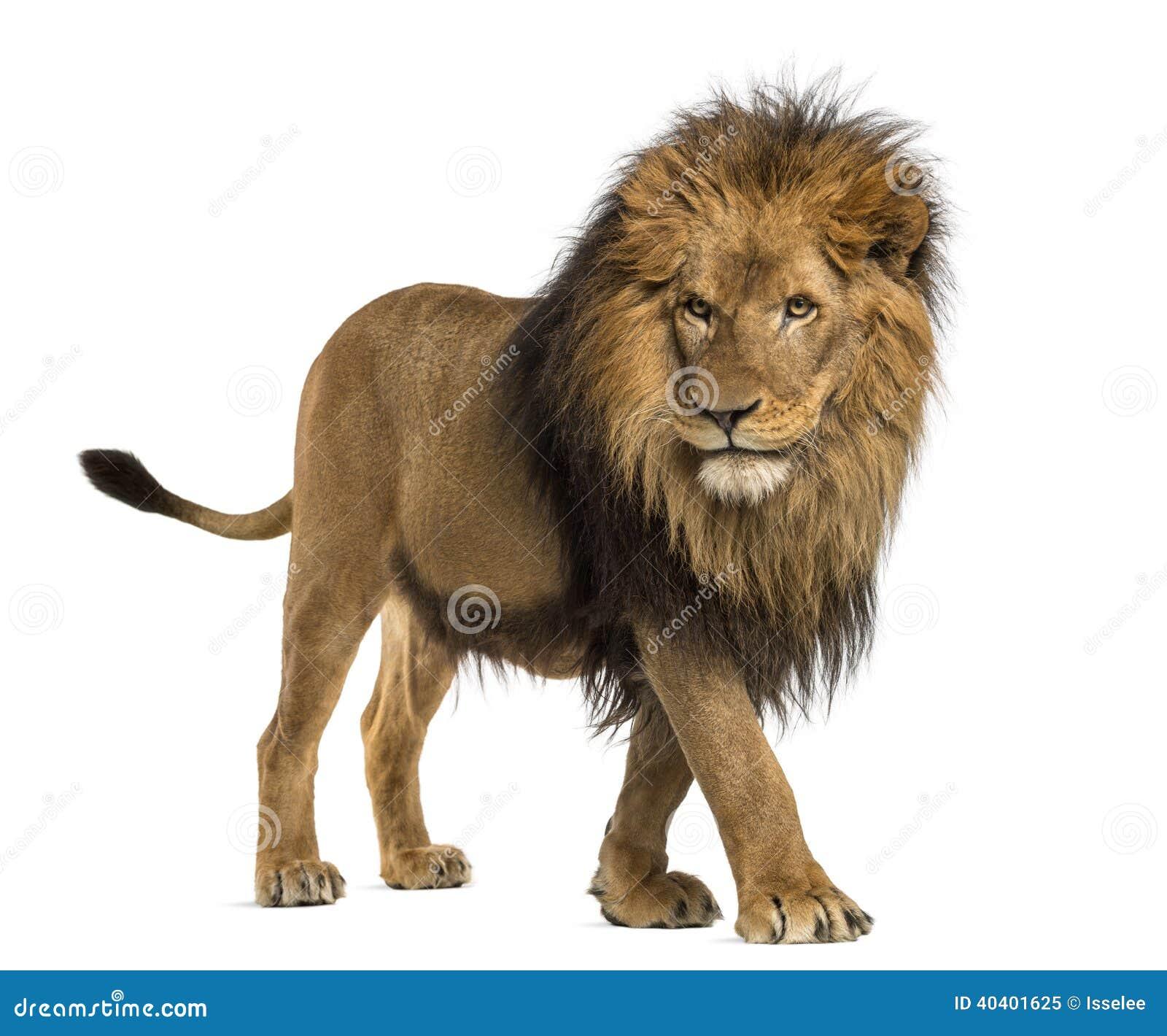 Vista lateral de un león que camina, Panthera Leo, 10 años