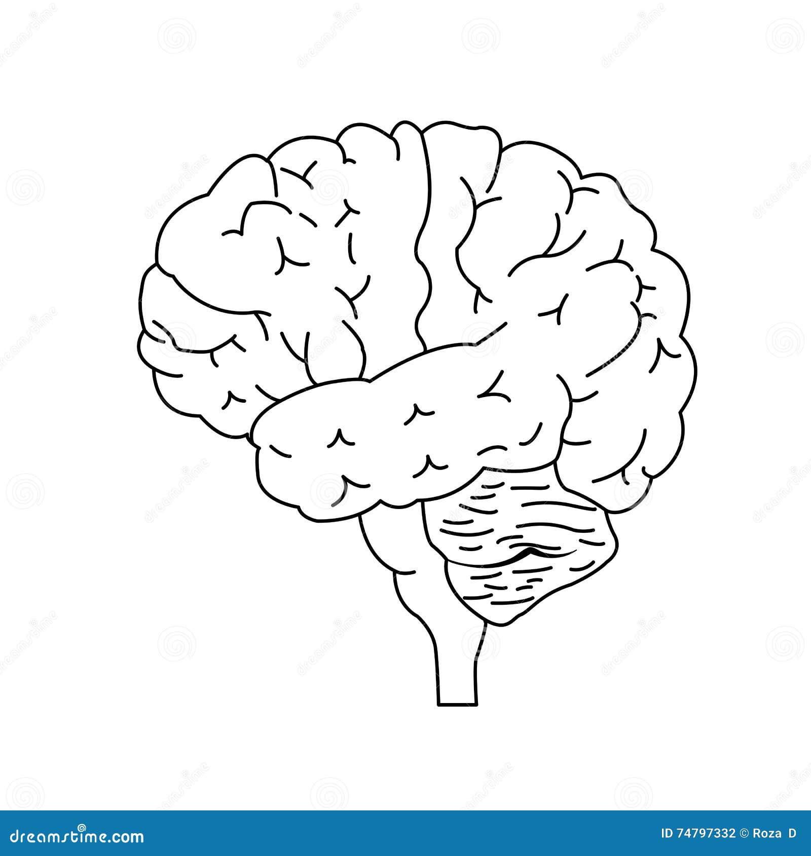 vista lateral del cerebro ilustraci u00f3n del vector
