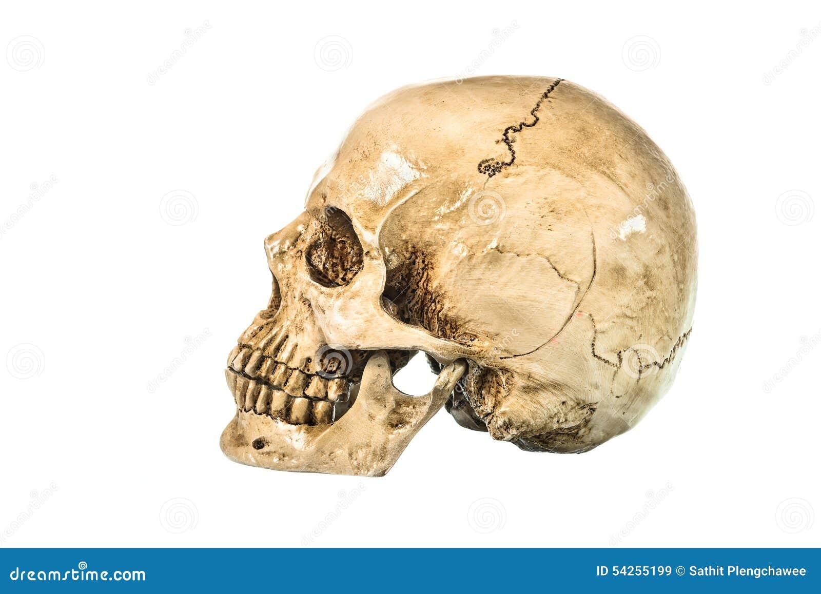 Vista Lateral Del Cráneo Humano Ilustración del Vector - Ilustración ...