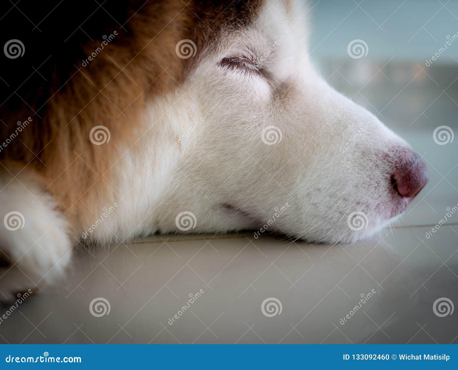 Vista lateral del siberiano Husky Face Sleeping