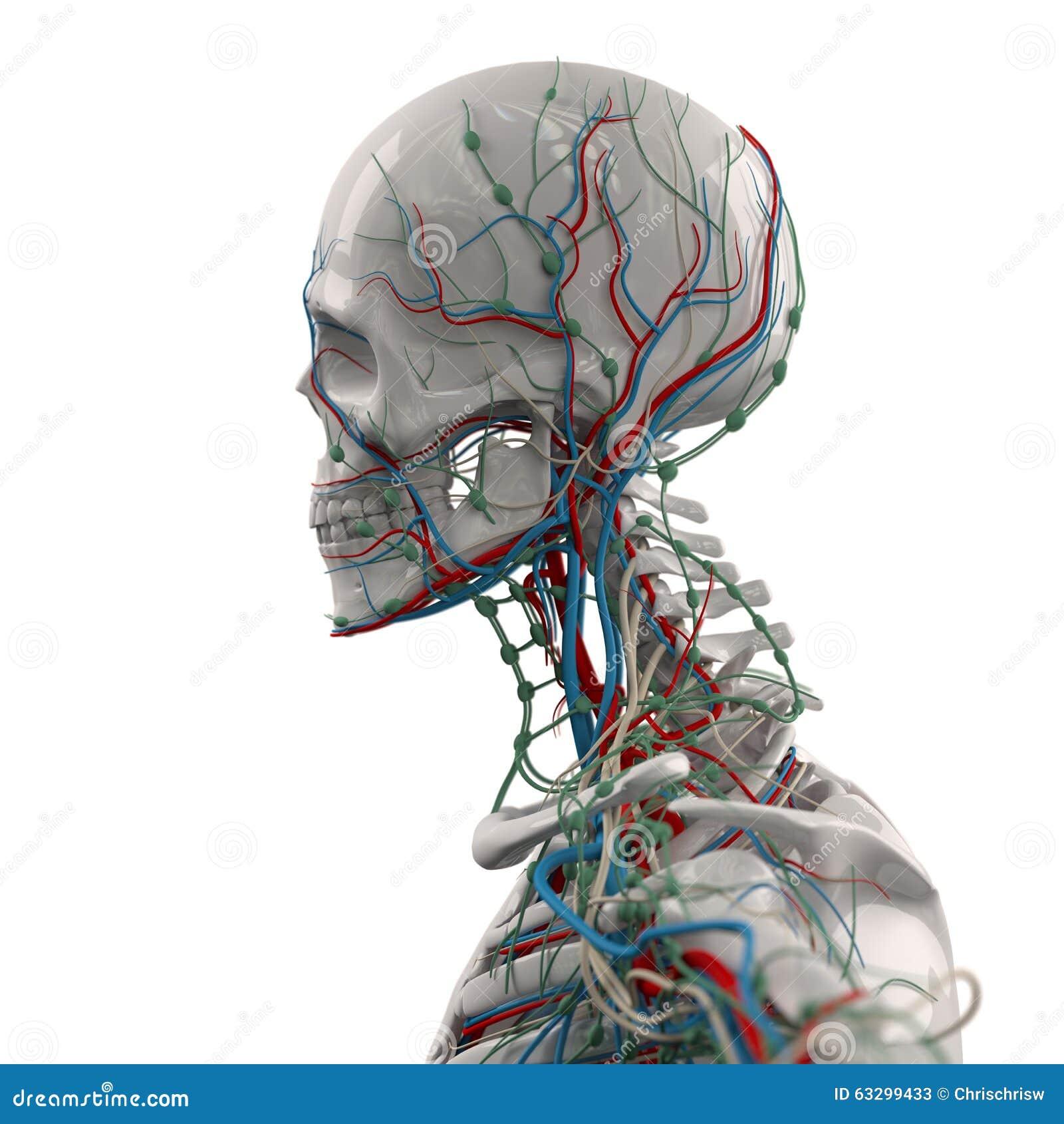 Esqueleto con las venas stock de ilustración. Ilustración de cerebro ...