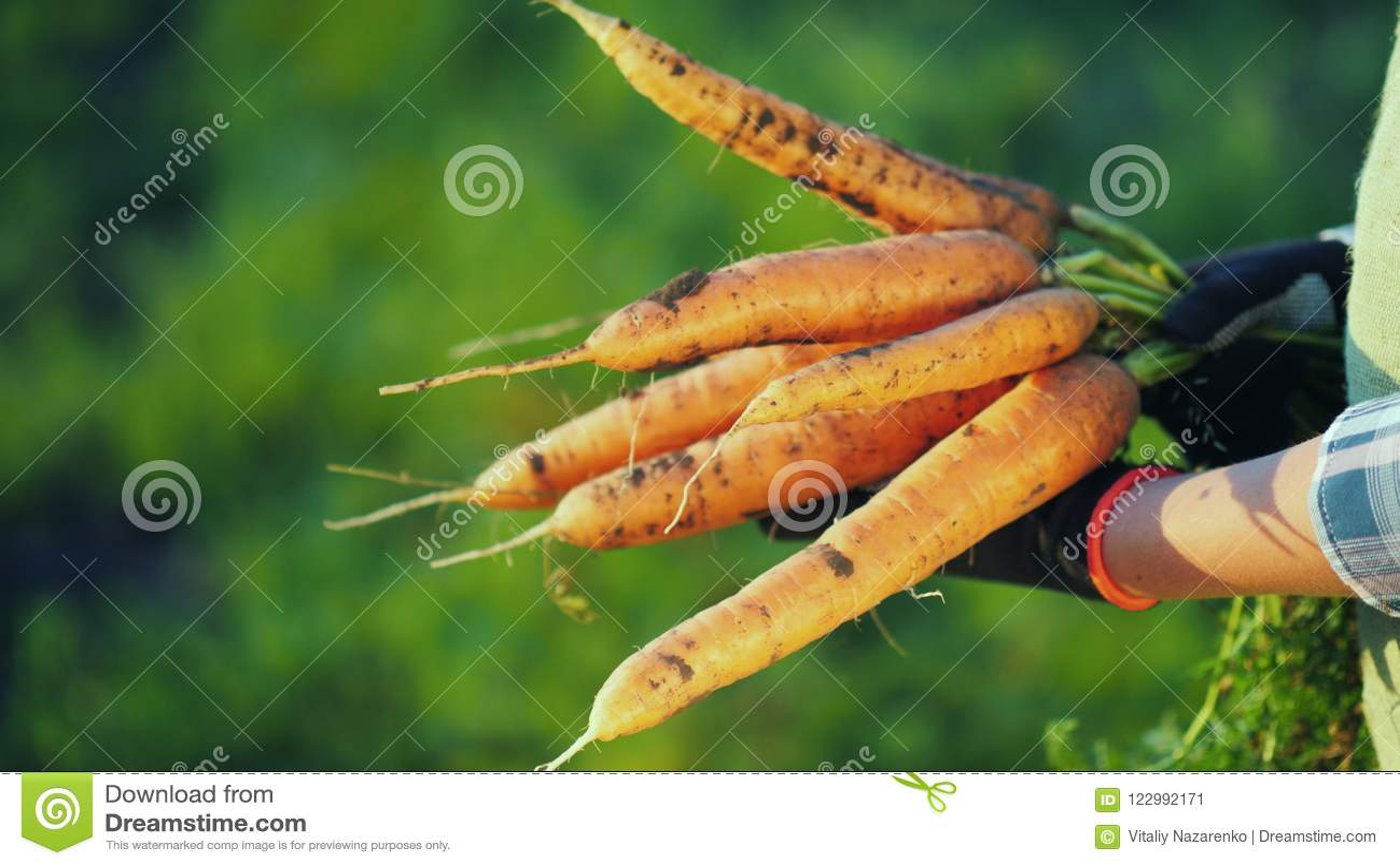 Vista lateral: o fazendeiro nas luvas guarda um grande grupo das cenouras Conceito do cultivo orgânico