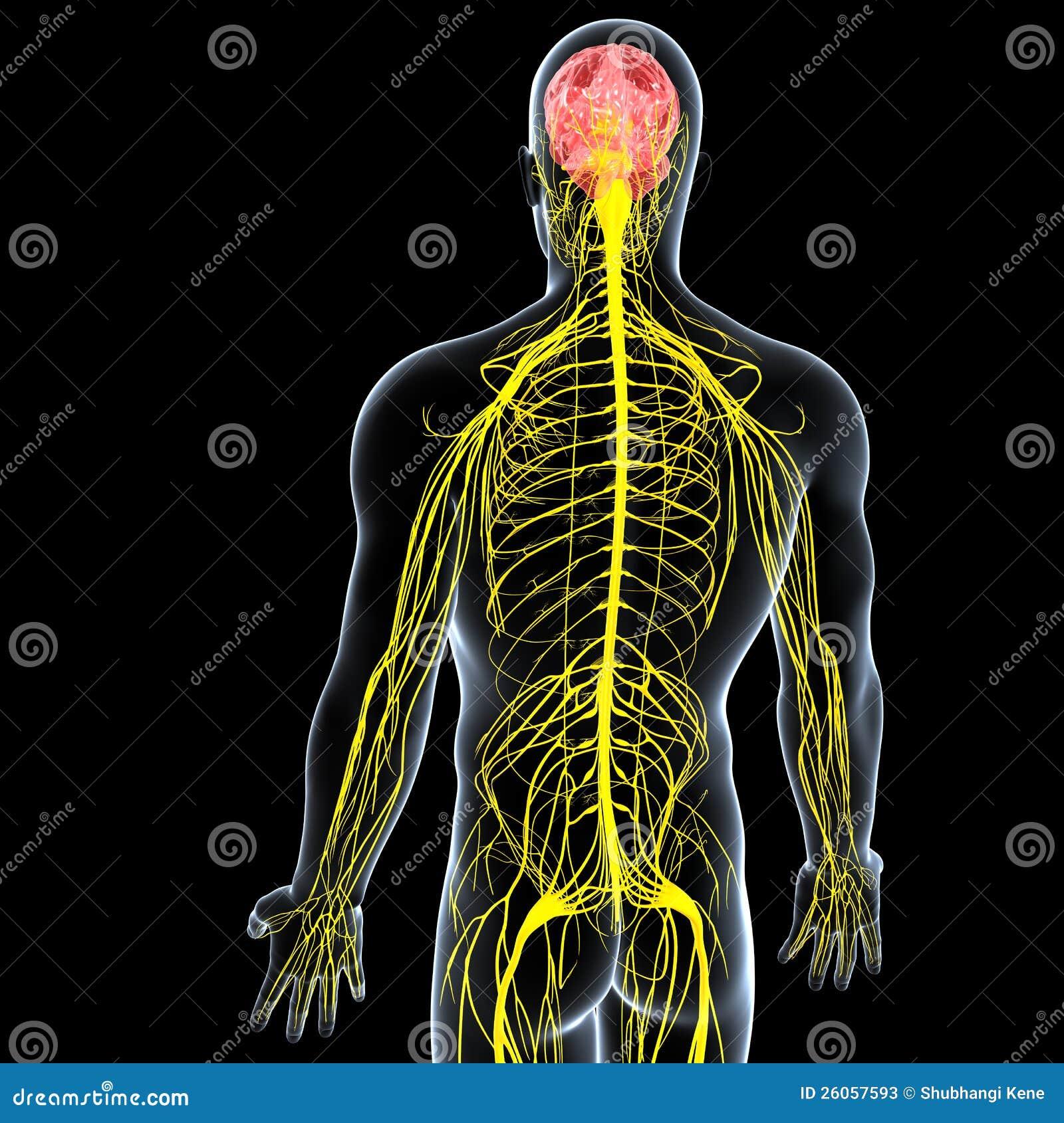 vista laterale maschio umano