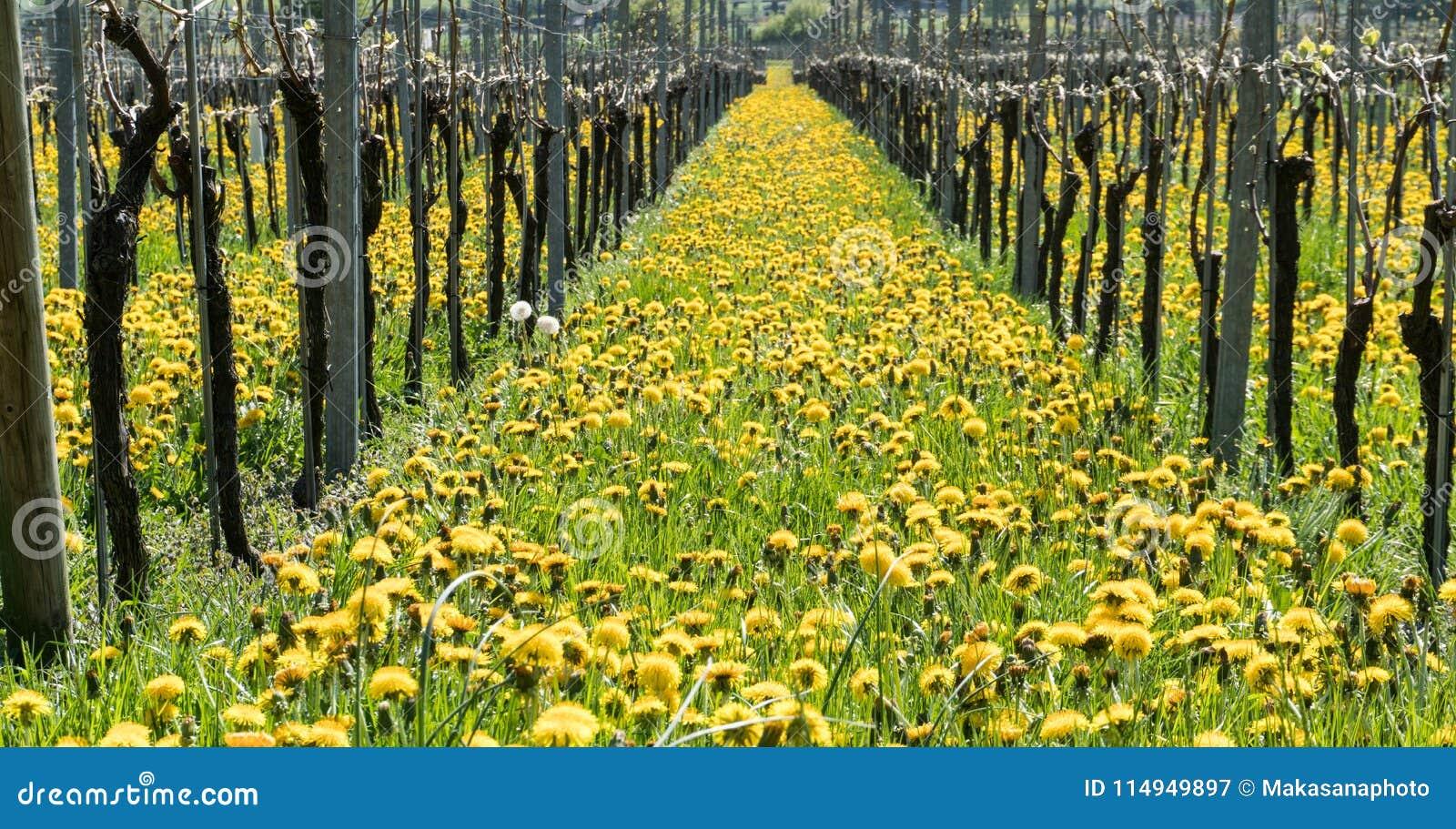 Vista maravillosa de viñedos en primavera con las flores amarillas y filas sin fin de vides