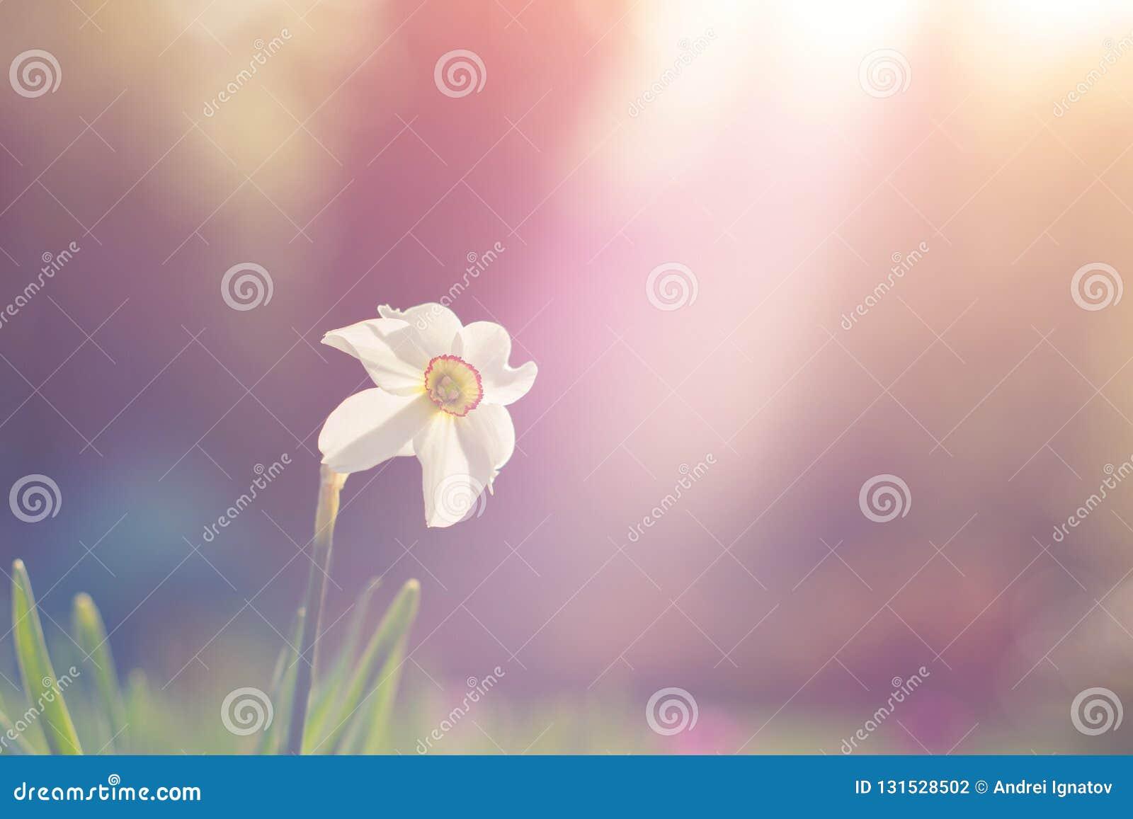 Vista natural de la floración de la flor del narciso en jardín con la hierba verde como fondo de la naturaleza