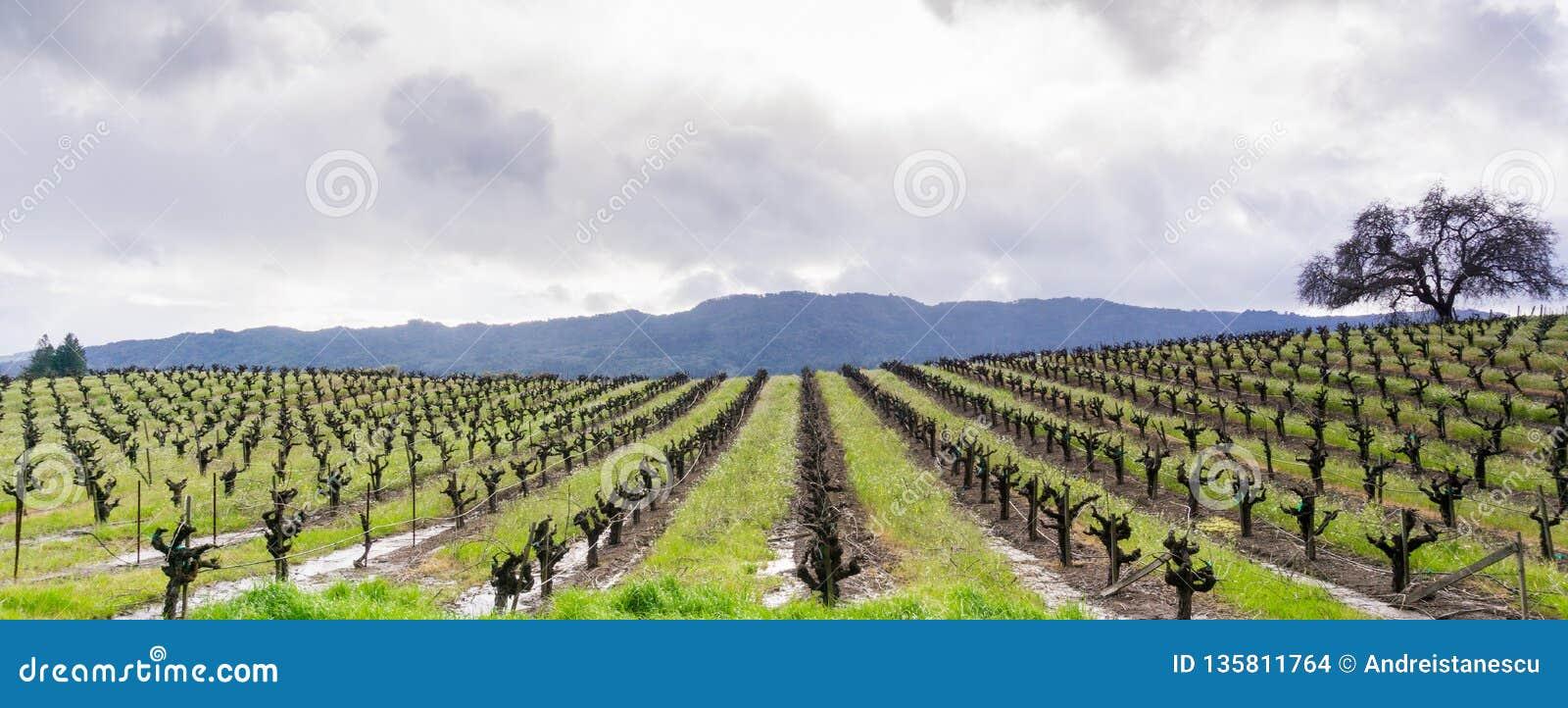 Vista panorâmica de um vinhedo no vale de Sonoma no início da mola, Califórnia