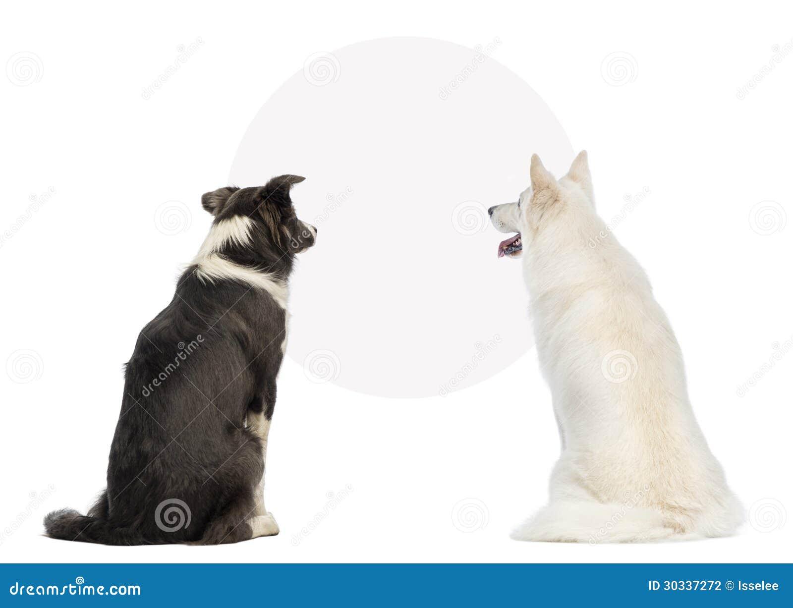 Vista posterior de dos perros que miran una muestra en blanco