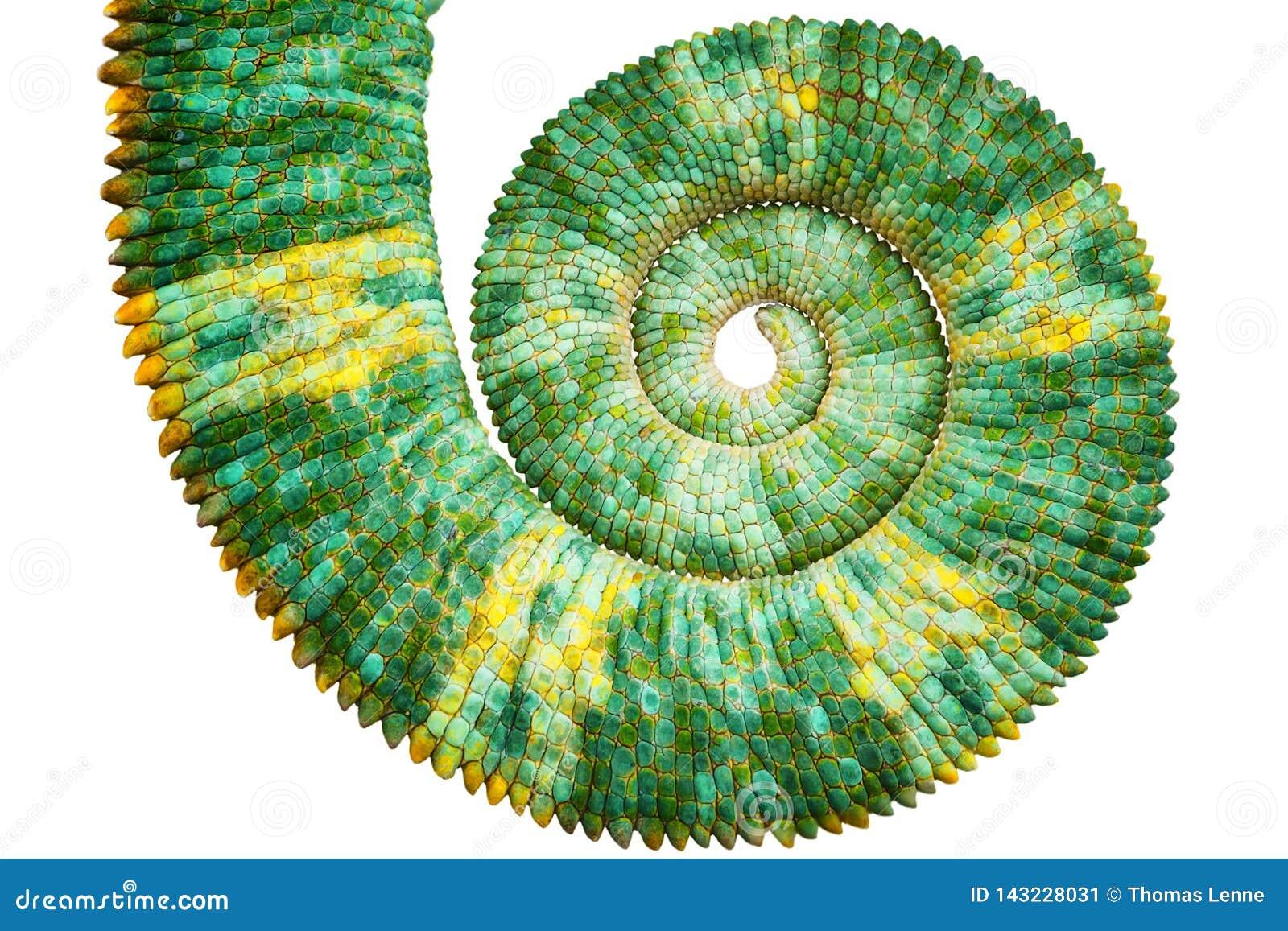 Vista próxima de uma cauda colorida verde bonita do calyptratus do chamaeleo que revela a curva espiral matemática de fibonacci