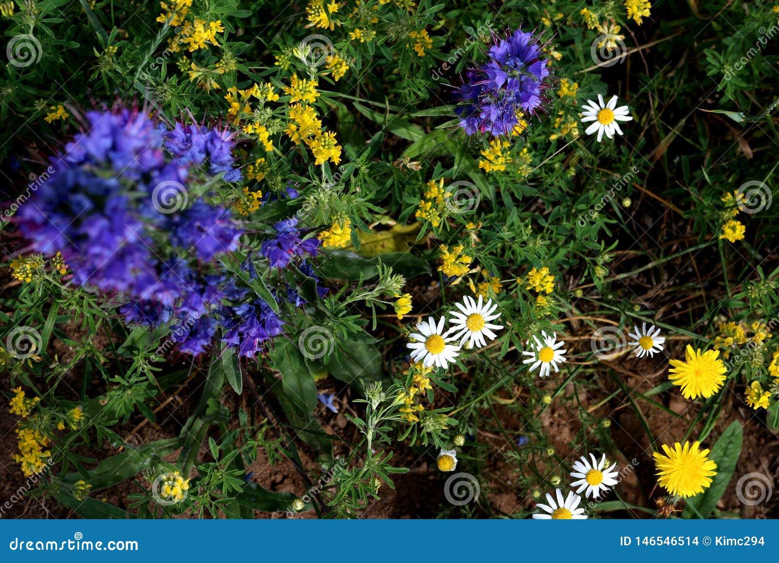 Vista sopraelevata dei fiori crescenti selvaggi nei colori blu, bianchi e gialli