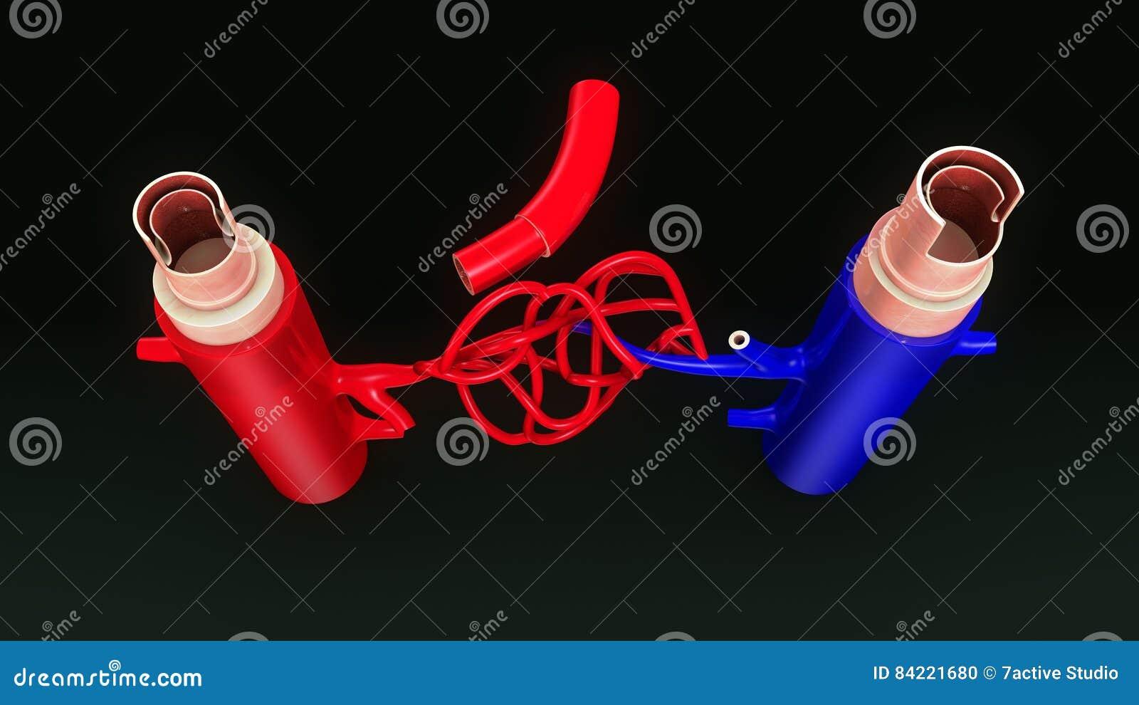 Vista superiore degli ST della vena e dell arteria