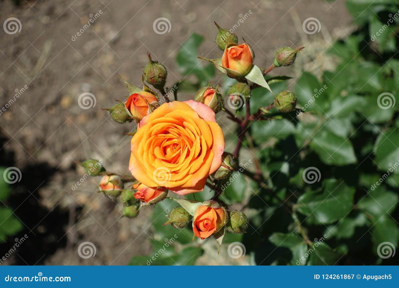 Vista superiore del fiore della rosa arancio