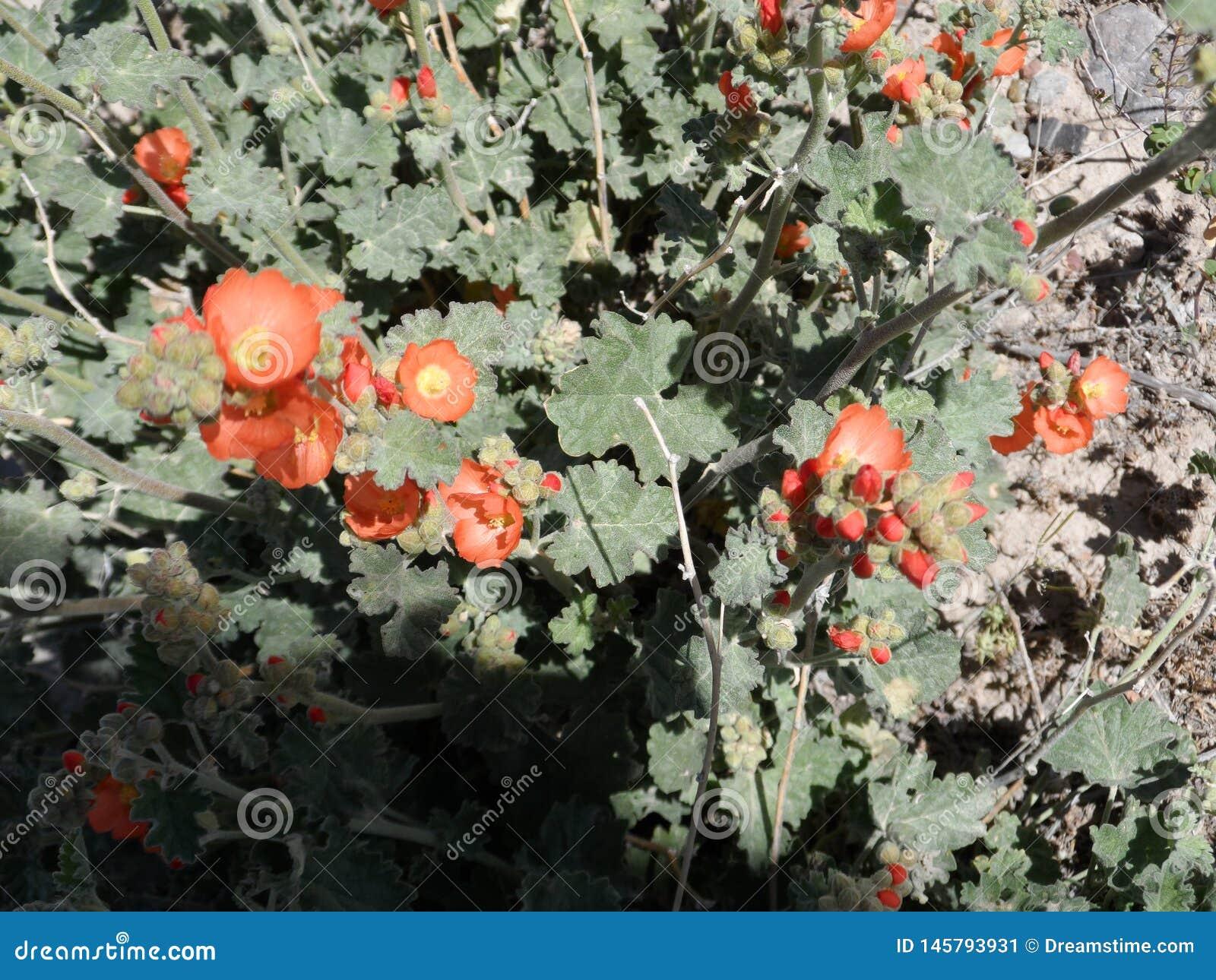 Vista superiore di una crescita arancio della malva