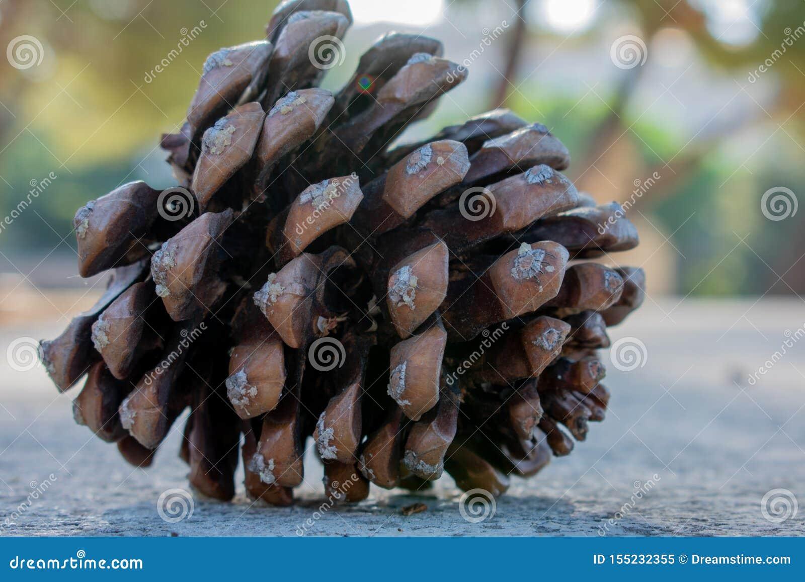 Visualização de um fruto do pinho