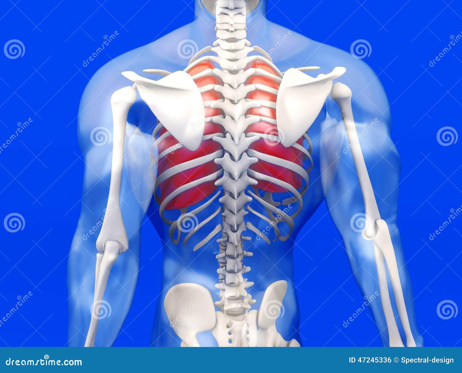 Visualización Humana De La Anatomía - Los Pulmones En BO Semi ...